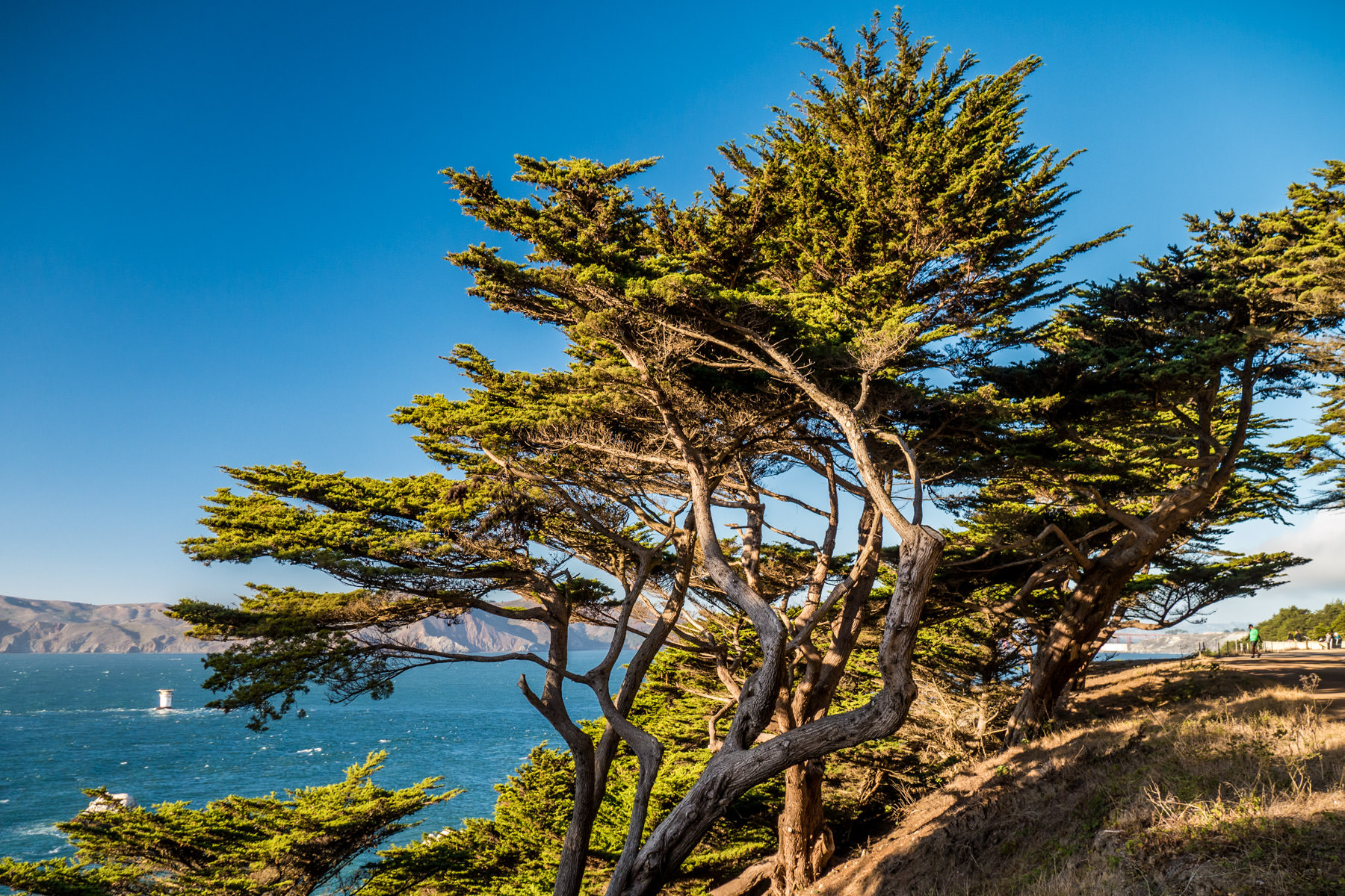 Windswept trees cling to the side of cliffs overlooking the Golden Gate along the Coastal Trail at San Francisco's Lands End.