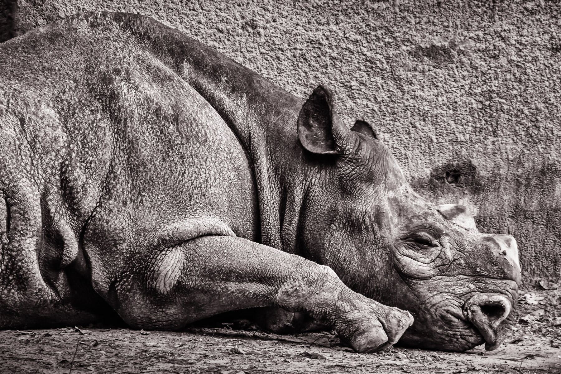 A rhinoceros sleeps in his habitat at Tyler, Texas' Caldwell Zoo.