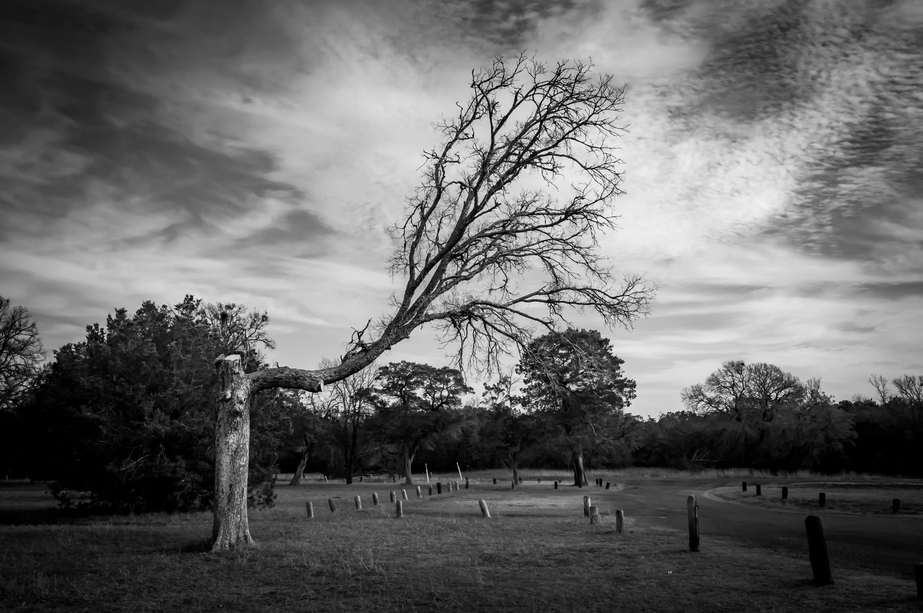 A crooked tree spotted at Texas' Dinosaur Valley State Park.