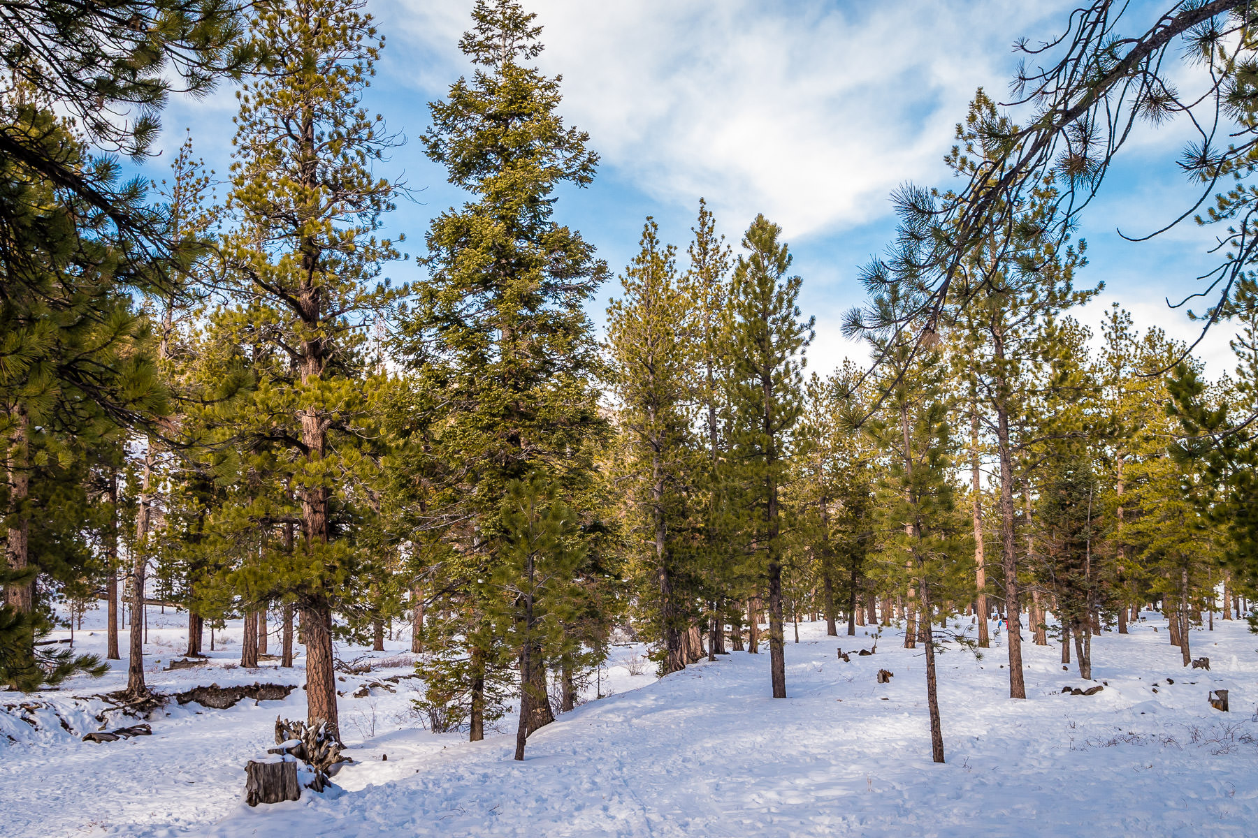 Evergreen pine trees rise from the snow-covered ground in the foothills of Nevada's Mount Charleston.
