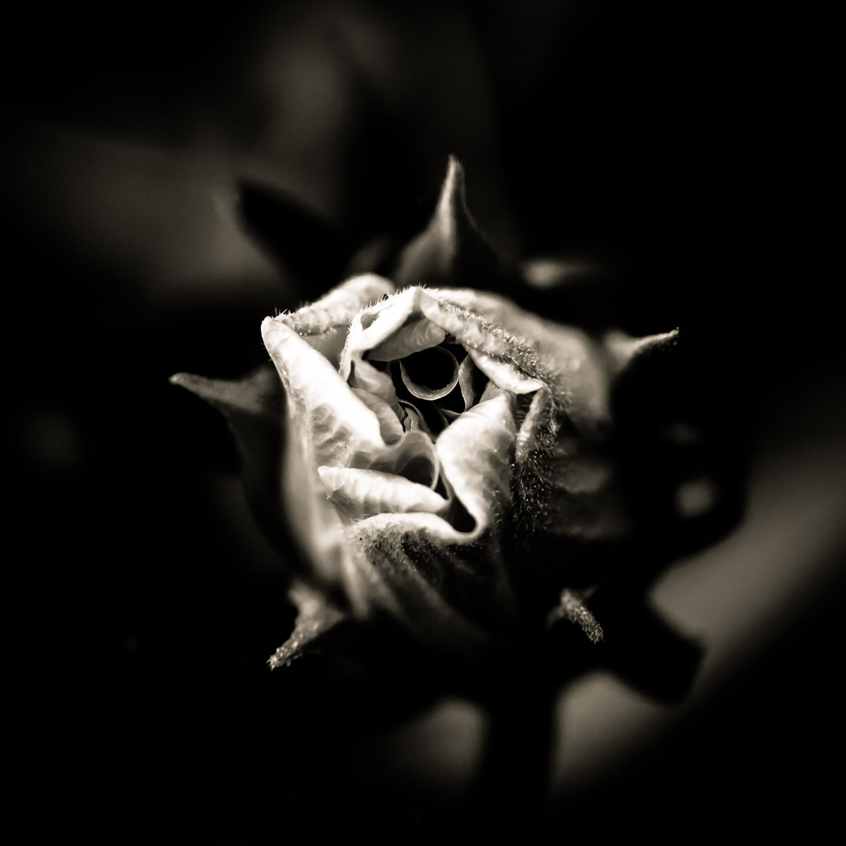 Detail of a rose blossom, caught just as it begins to bloom.