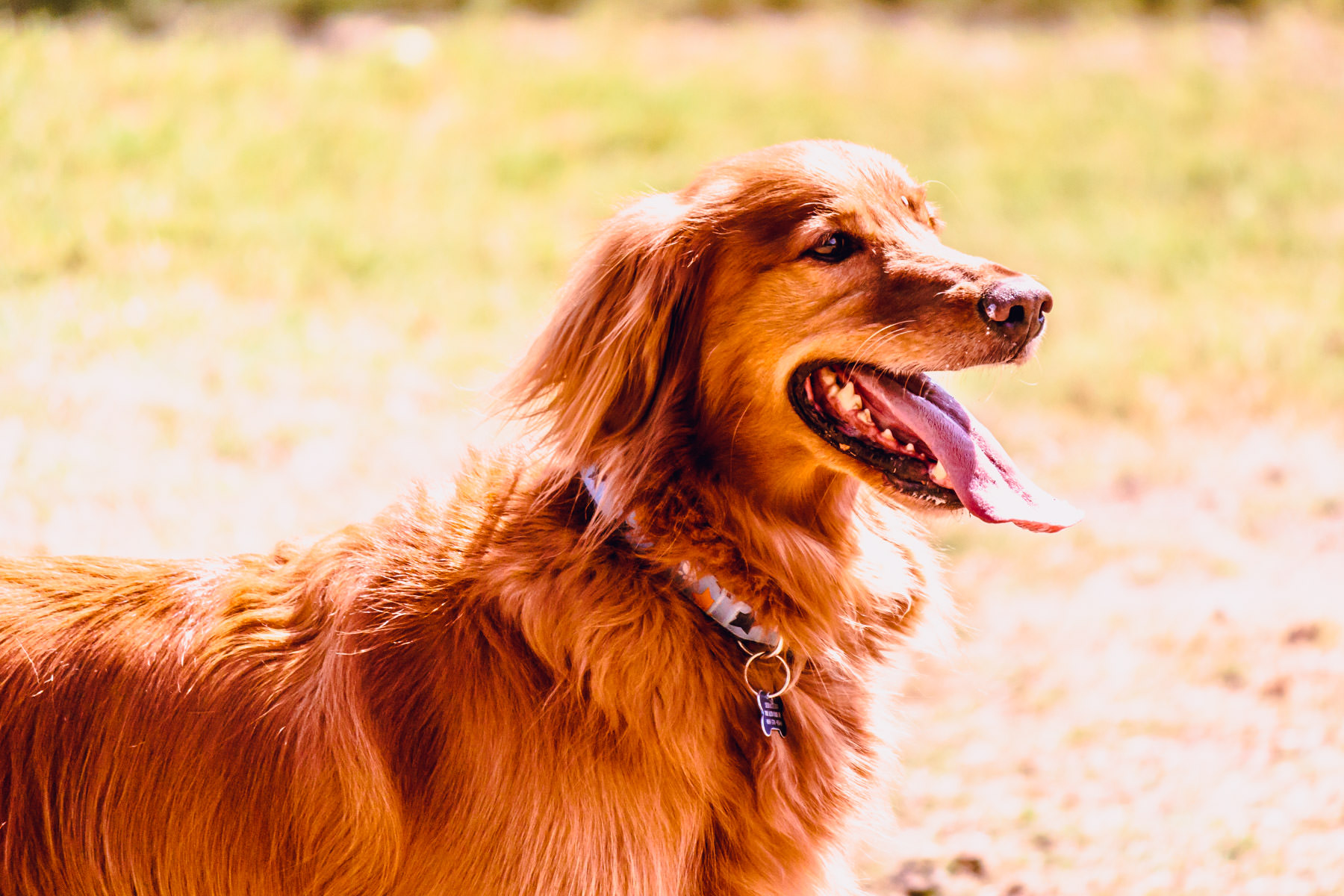 A golden retriever spotted at Wagging Tail Dog Park in Dallas.
