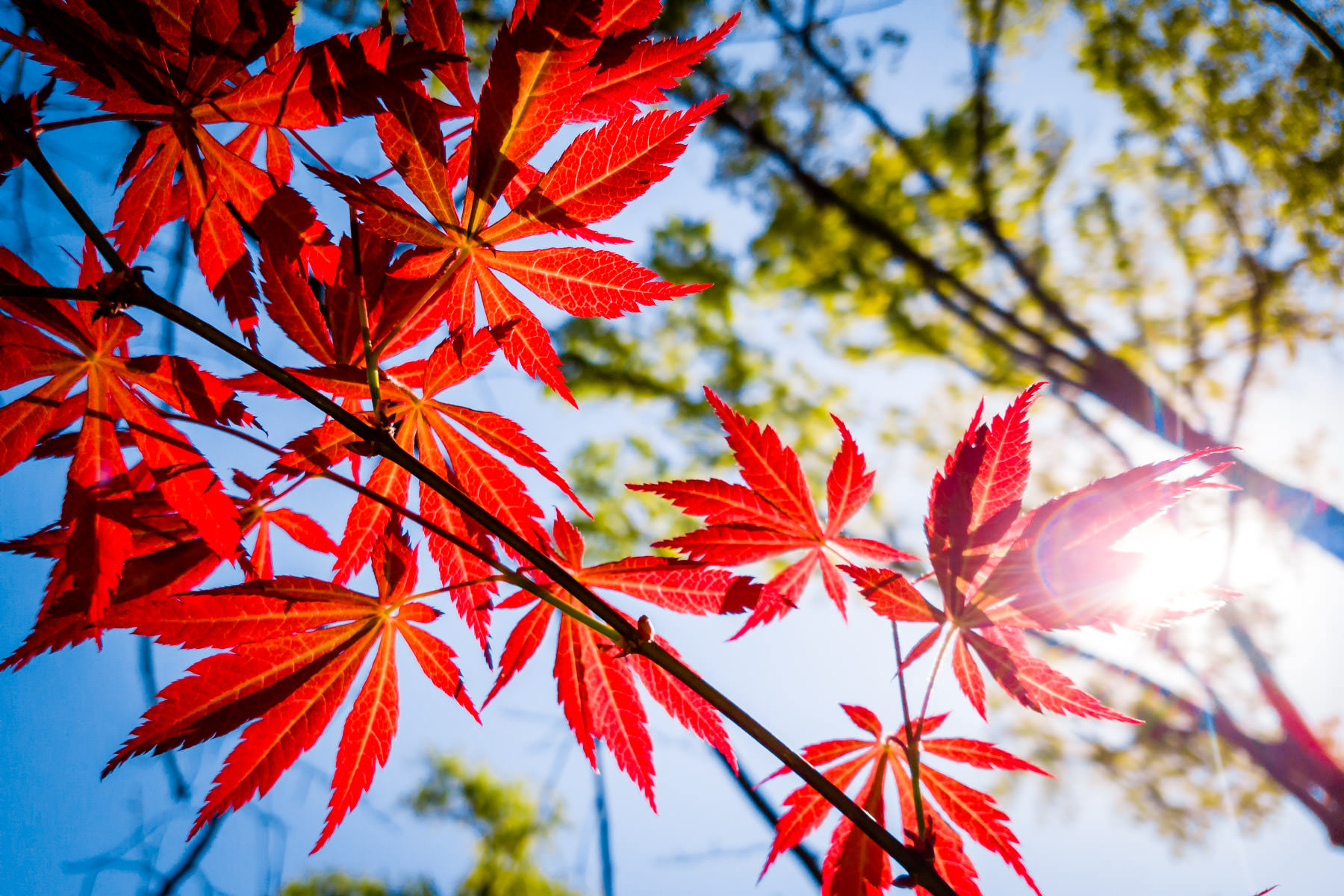 The sun shines through the branches of a tree, illuminating the leaves of a Japanese Maple tree in Tyler, Texas.