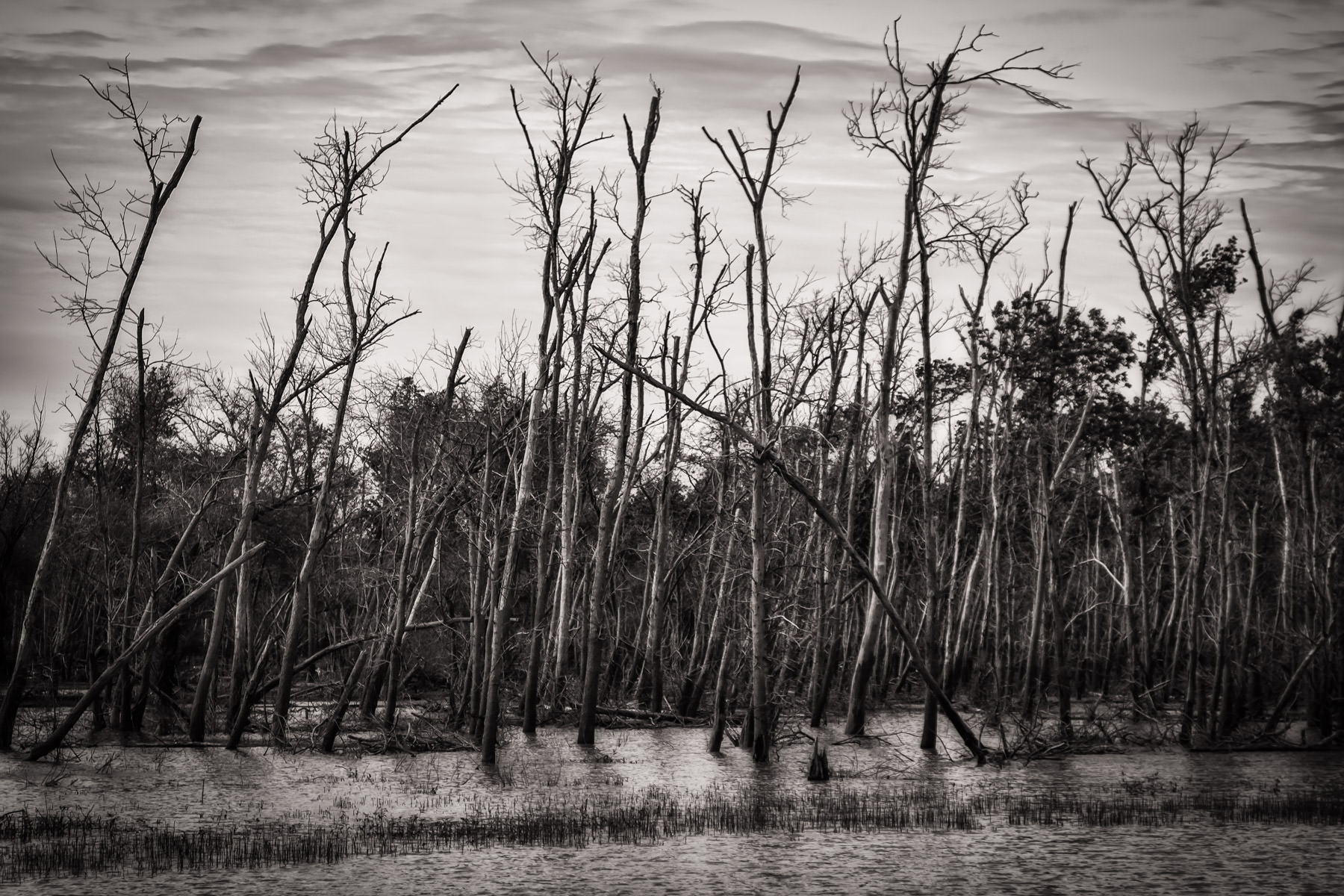 Trees stripped of their leaves rise from the marsh at Texas' Hagerman National Wildlife Refuge.