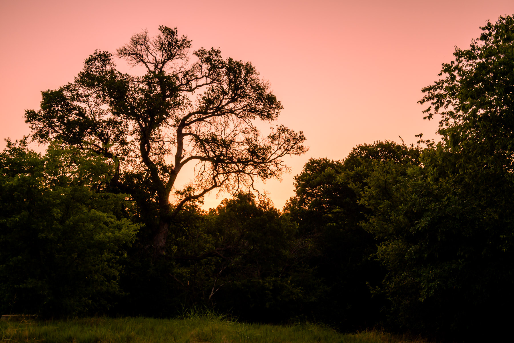 The rising sun backlights a tree at Arbor Hills Nature Preserve in Plano, Texas.