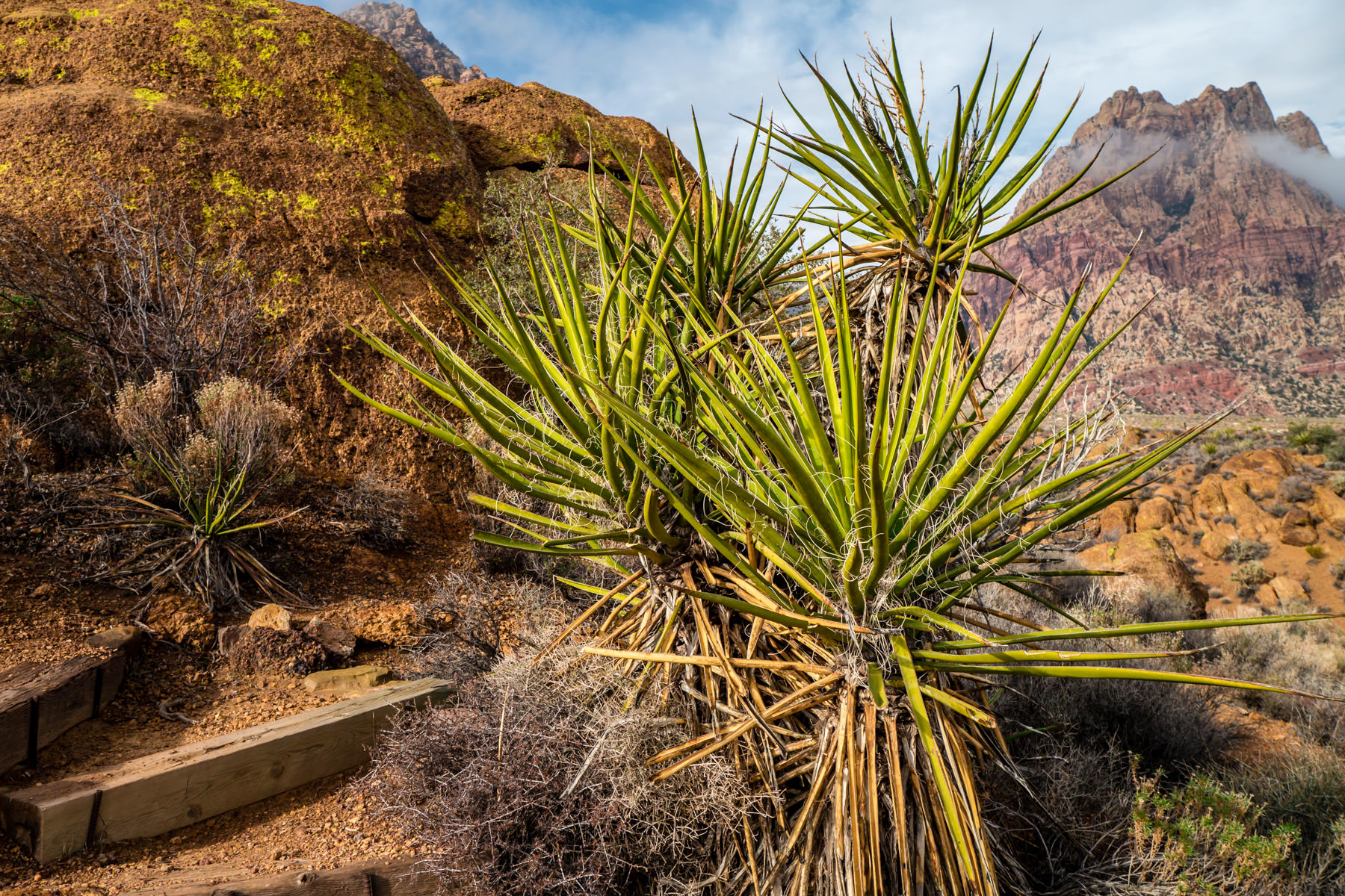 Yucca plants grow in the desert at Spring Mountain Ranch near Las Vegas, Nevada.