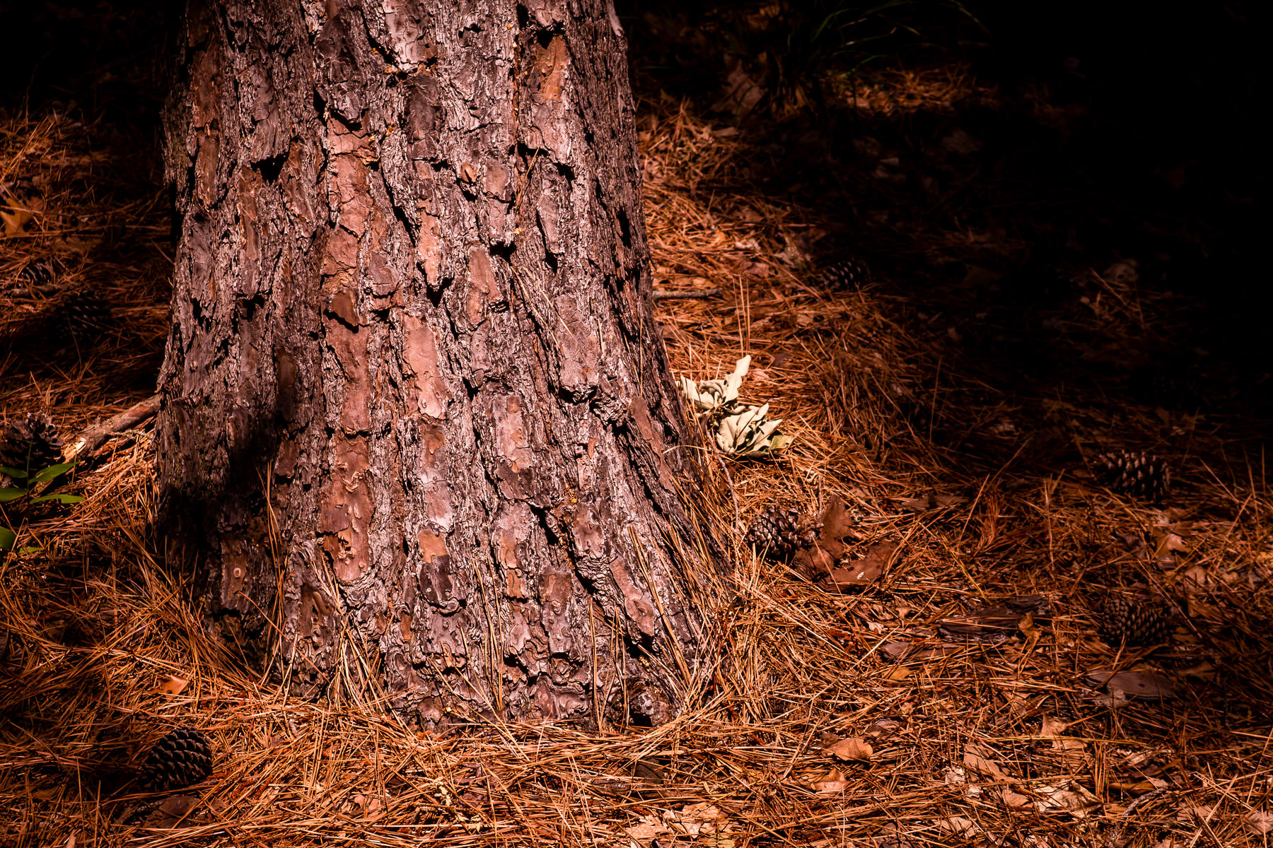 A pine tree grows in the forest at Tyler State Park, Texas.