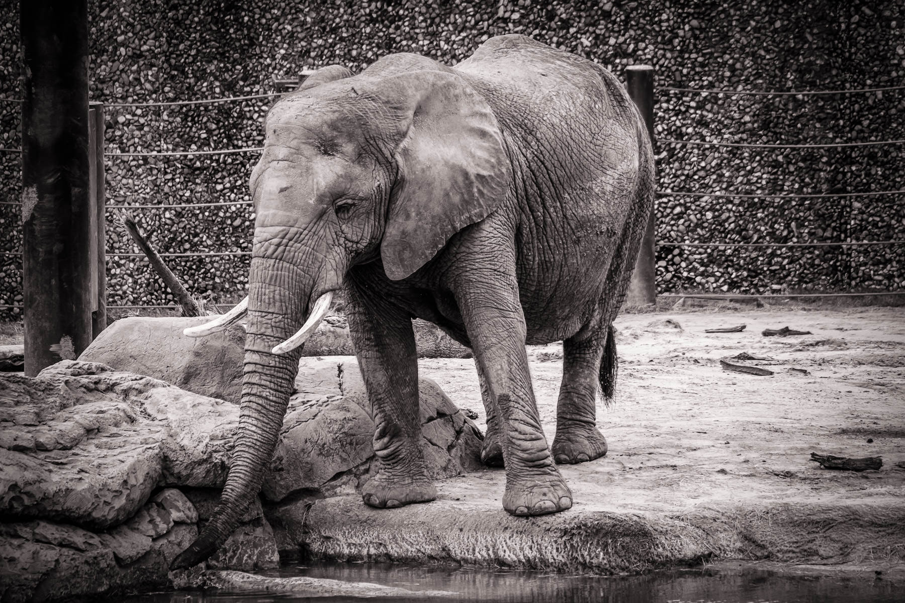 An elephant at Tyler, Texas' Caldwell Zoo pauses to take a drink of water.
