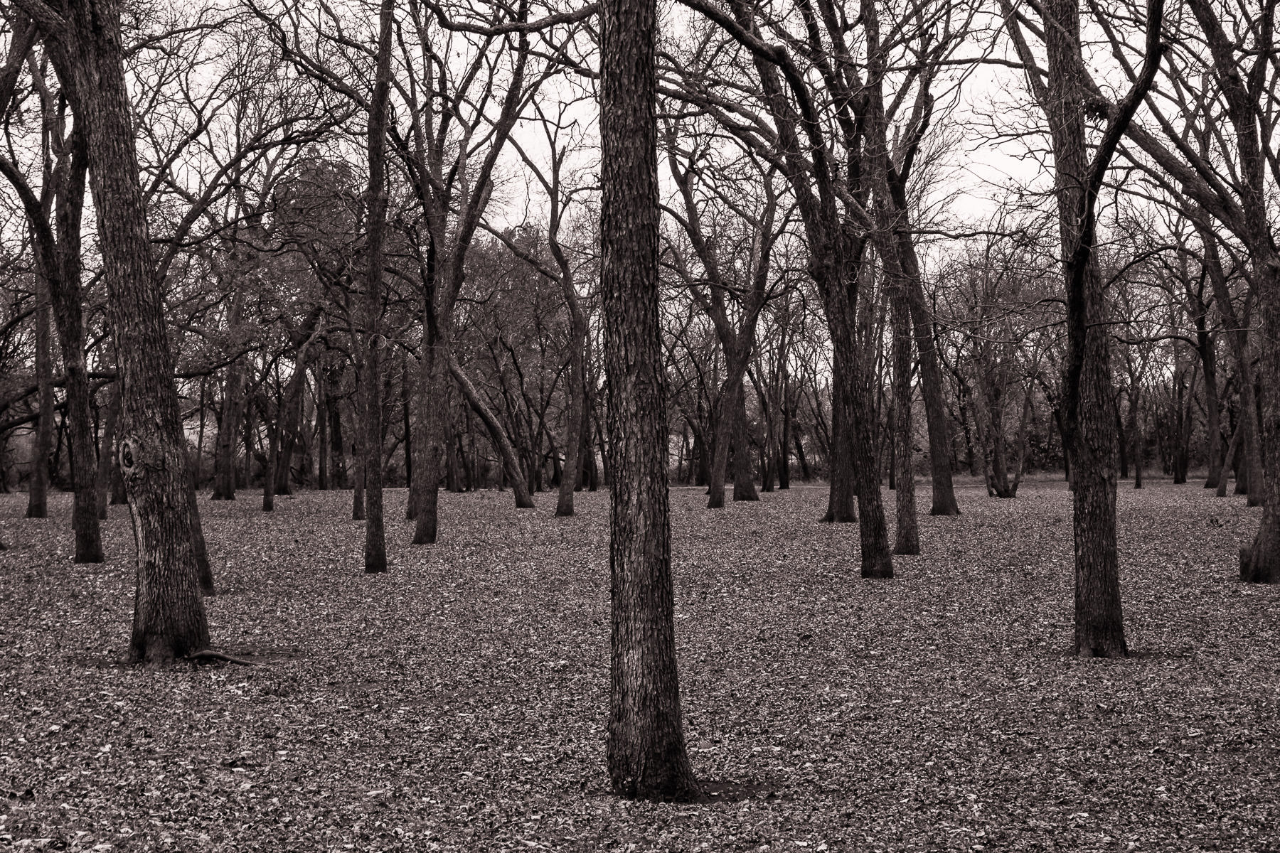 Trees grow in a forest on the edge of Breckinridge Park, Richardson, Texas.