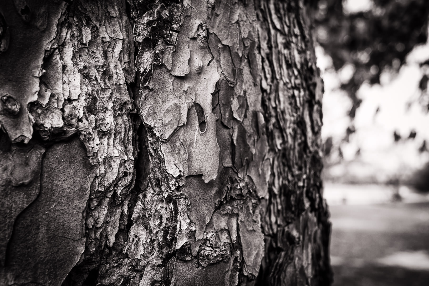 Detail of a pine tree's bark, spotted at Pollard Park, Tyler, Texas.