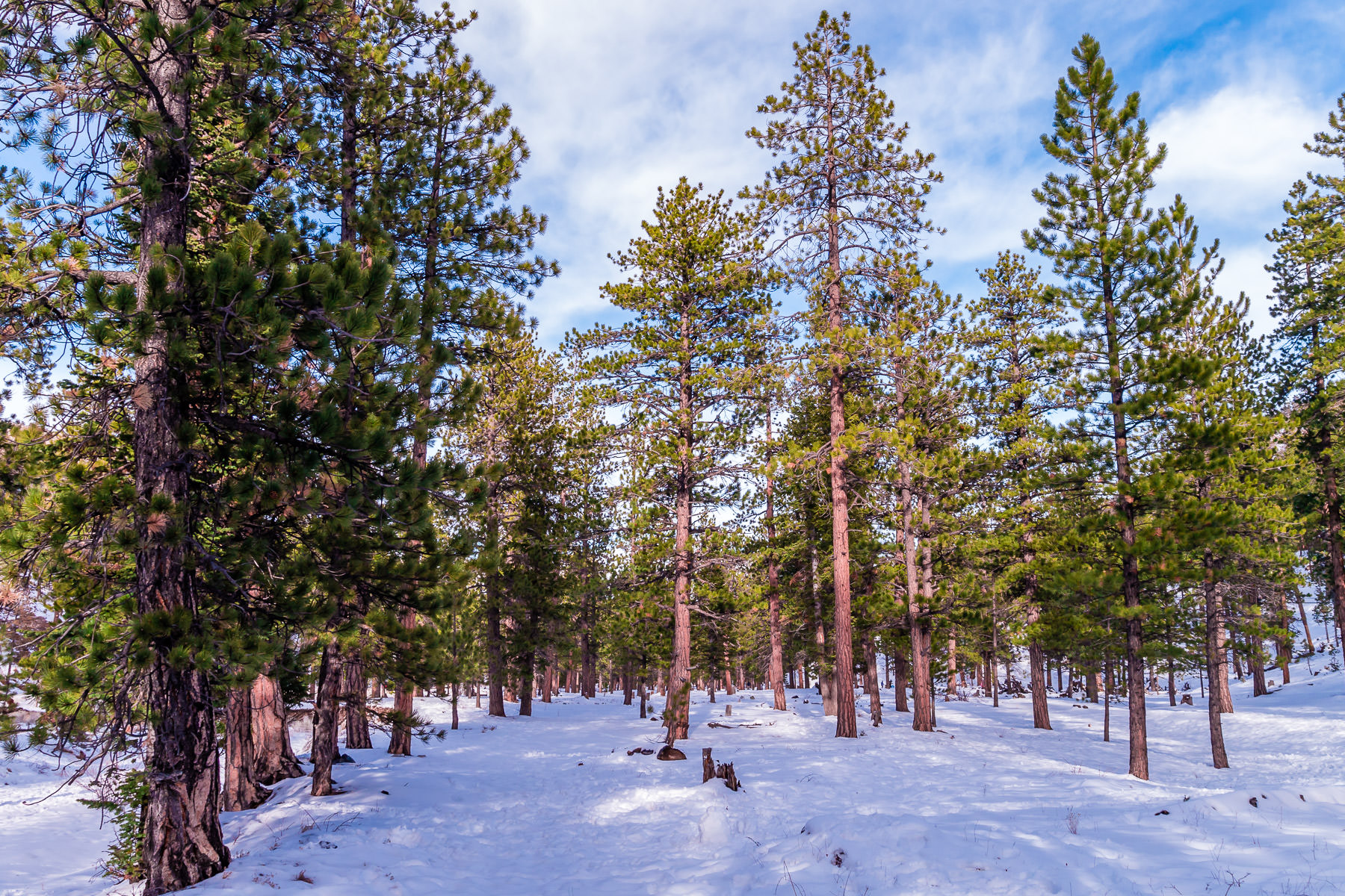 The snow-covered, forested landscape of Nevada's Mount Charleston in winter.