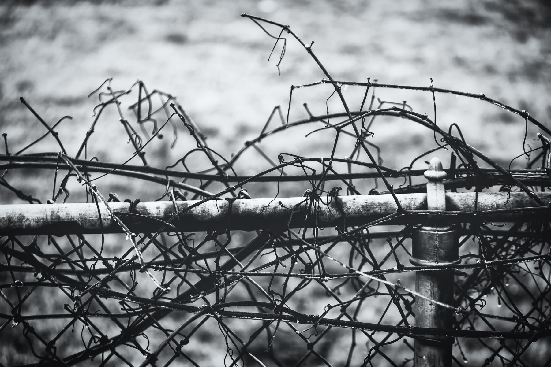 Vines grow on a chain link fence at Minters Chapel Cemetery, DFW Airport, Texas.