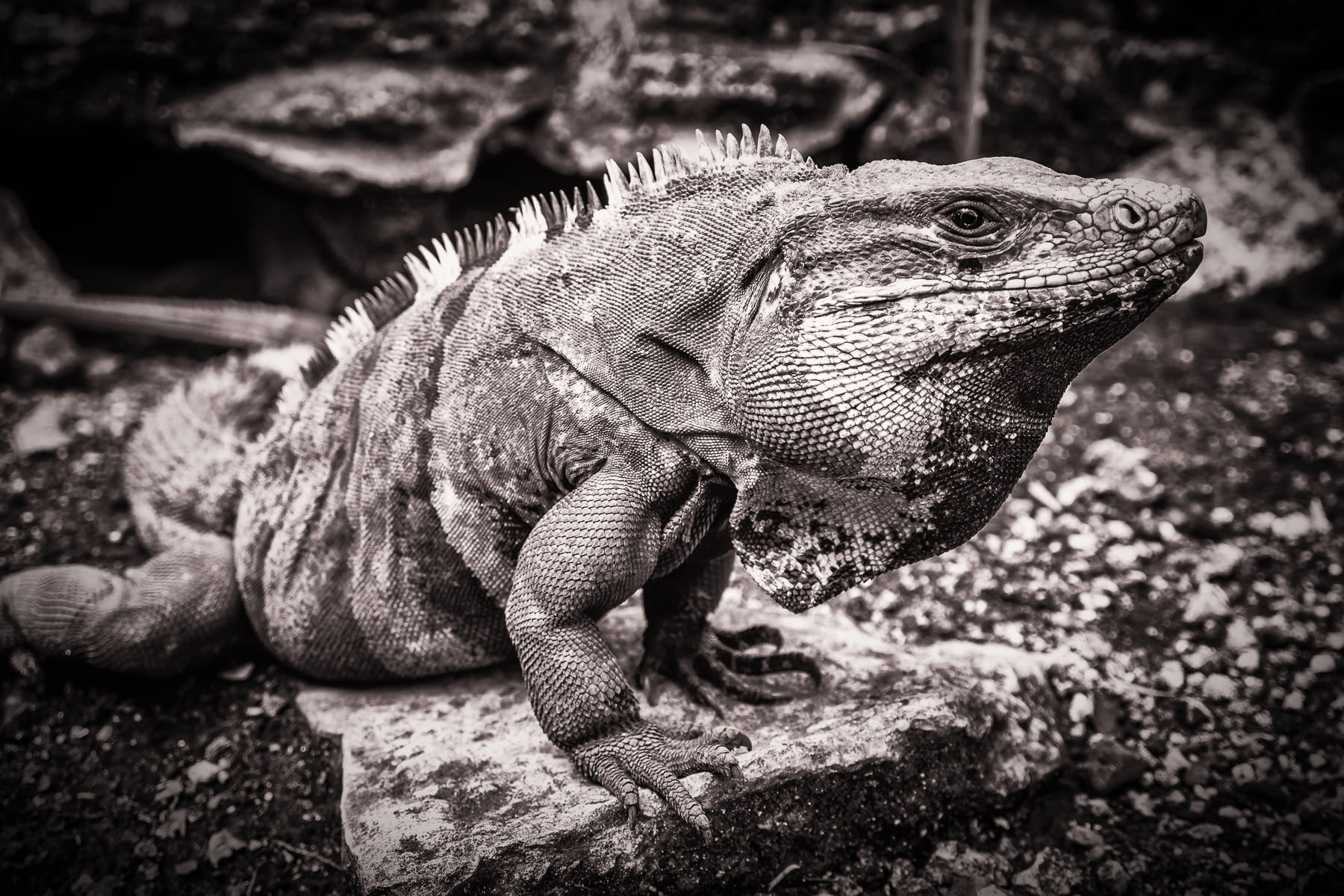 An iguana basks in the sun at the Mayan ruins at San Gervasio, Cozumel, Mexico.