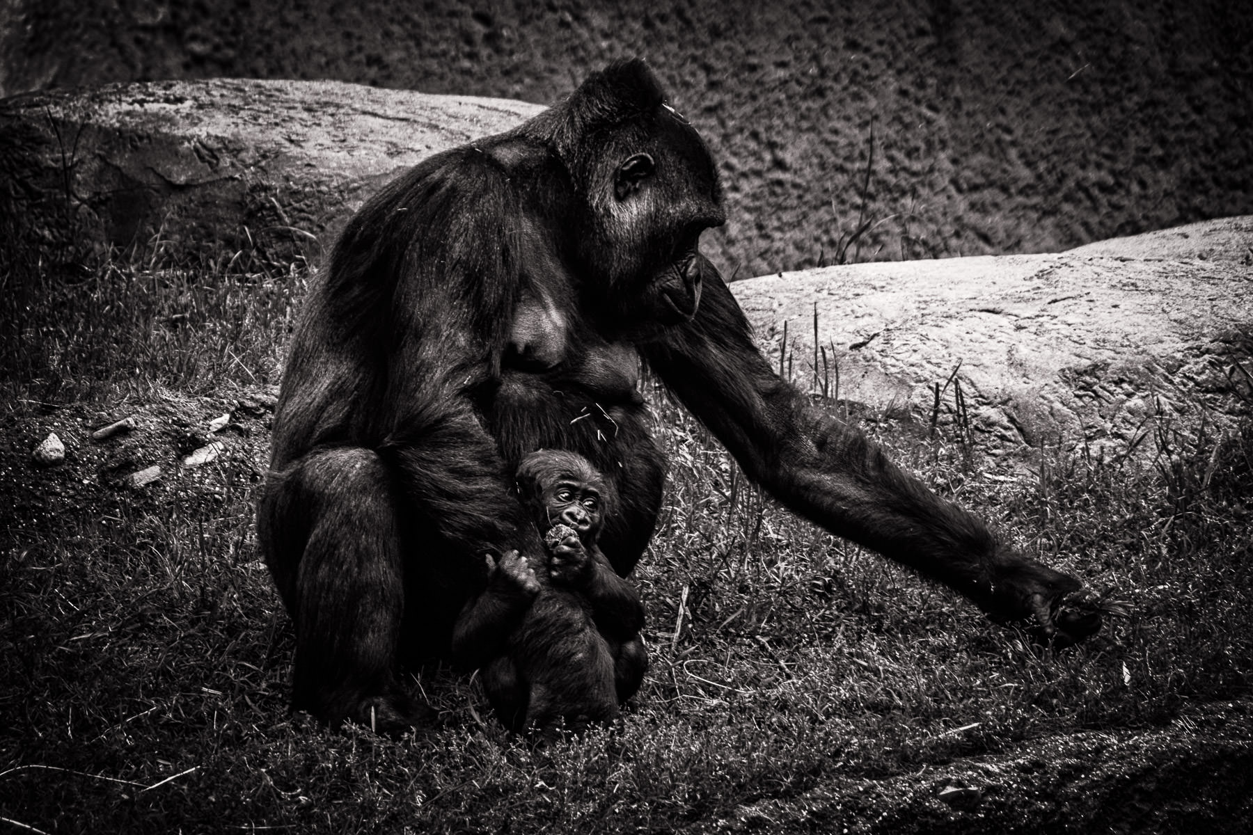 A mother gorilla and her young son at the Fort Worth Zoo, Texas.