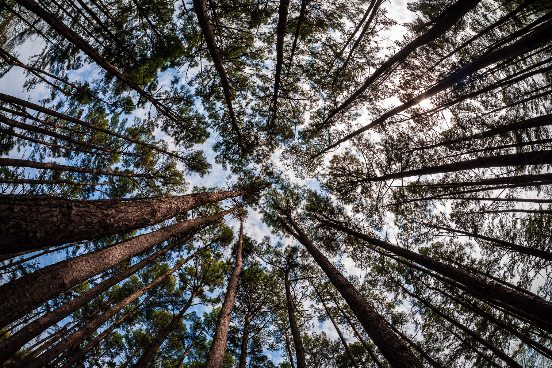 Pine trees reach into the sky at Tyler State Park, Texas.
