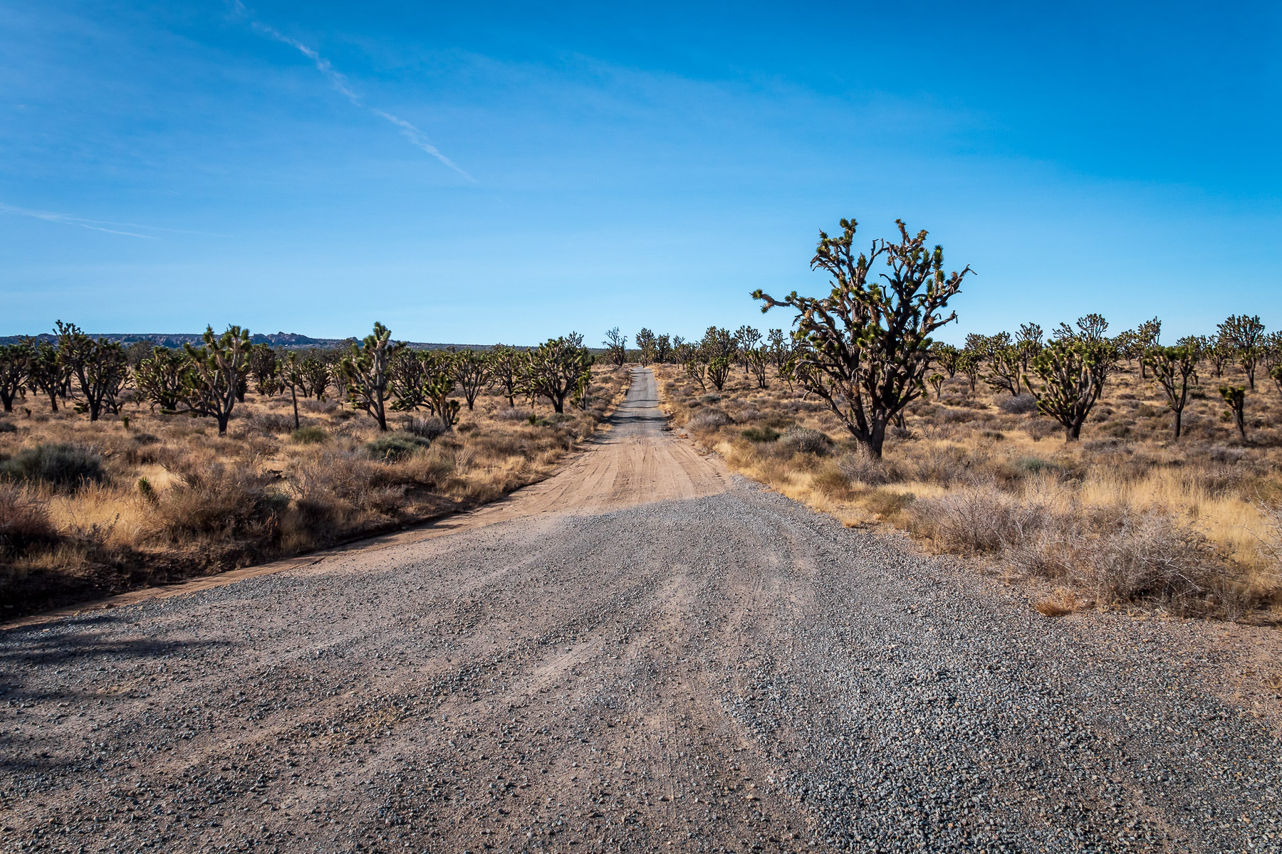 A gravel road leads into the distance through an endless sea of Joshua trees at the Mojave National Preserve, California.