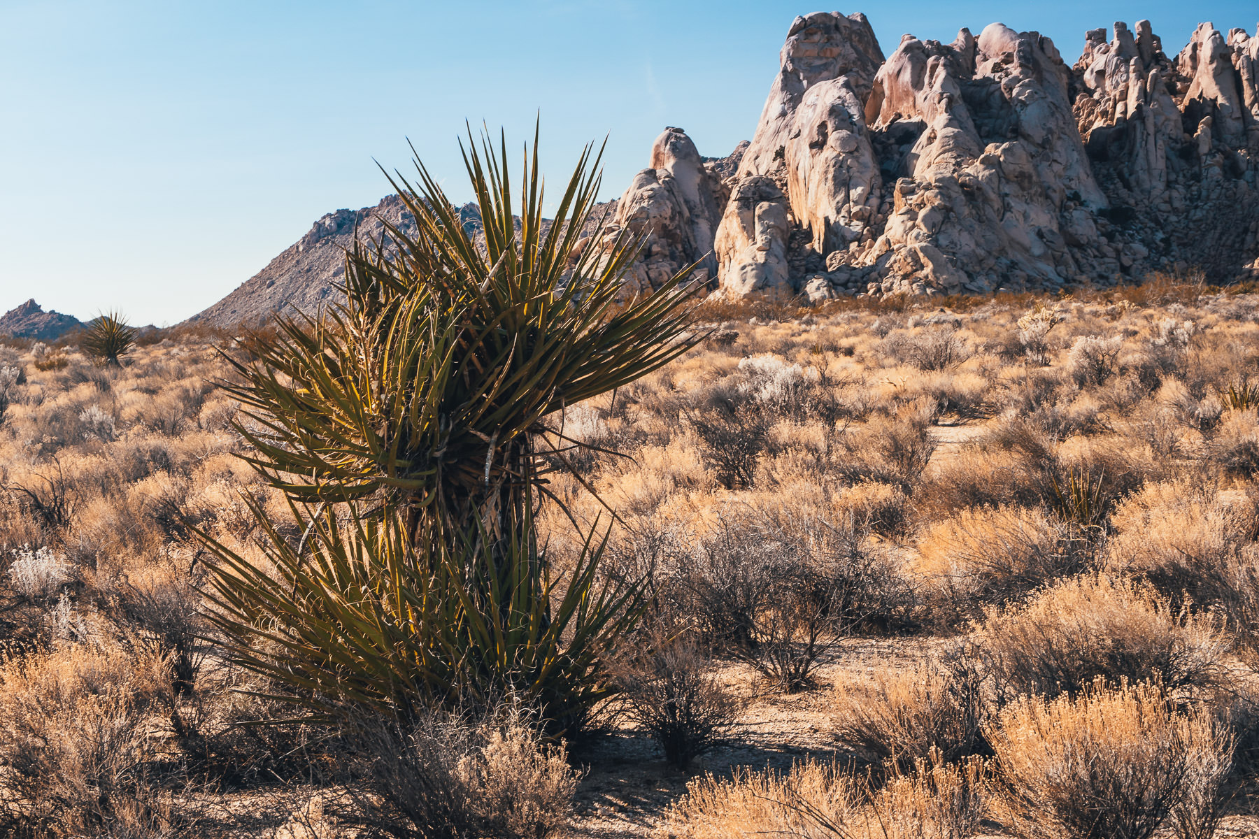 A yucca tree grows near a rocky outcropping in the Mojave National Preserve, California.
