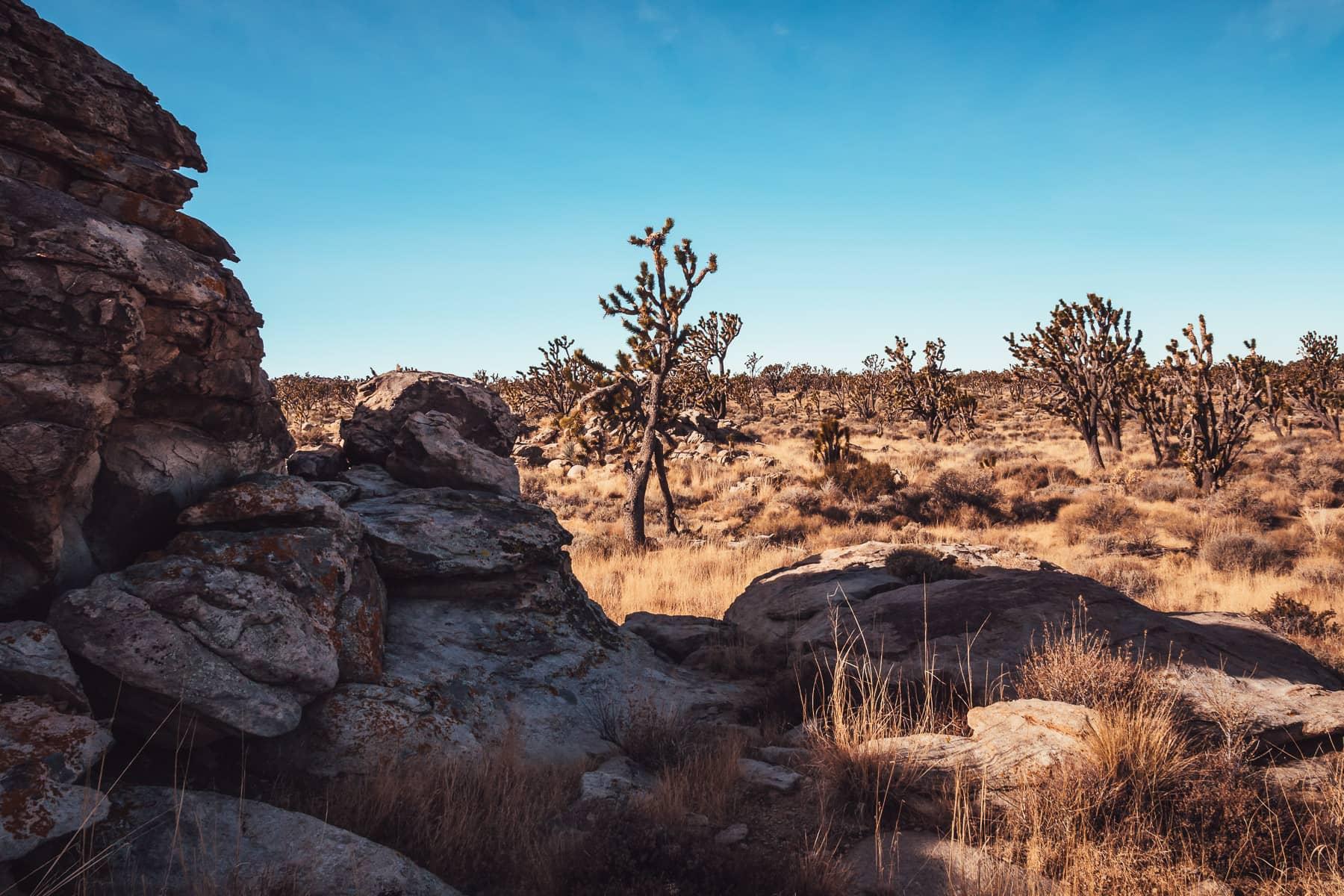 Joshua trees grow among ancient rocks at California's Mojave National Preserve.
