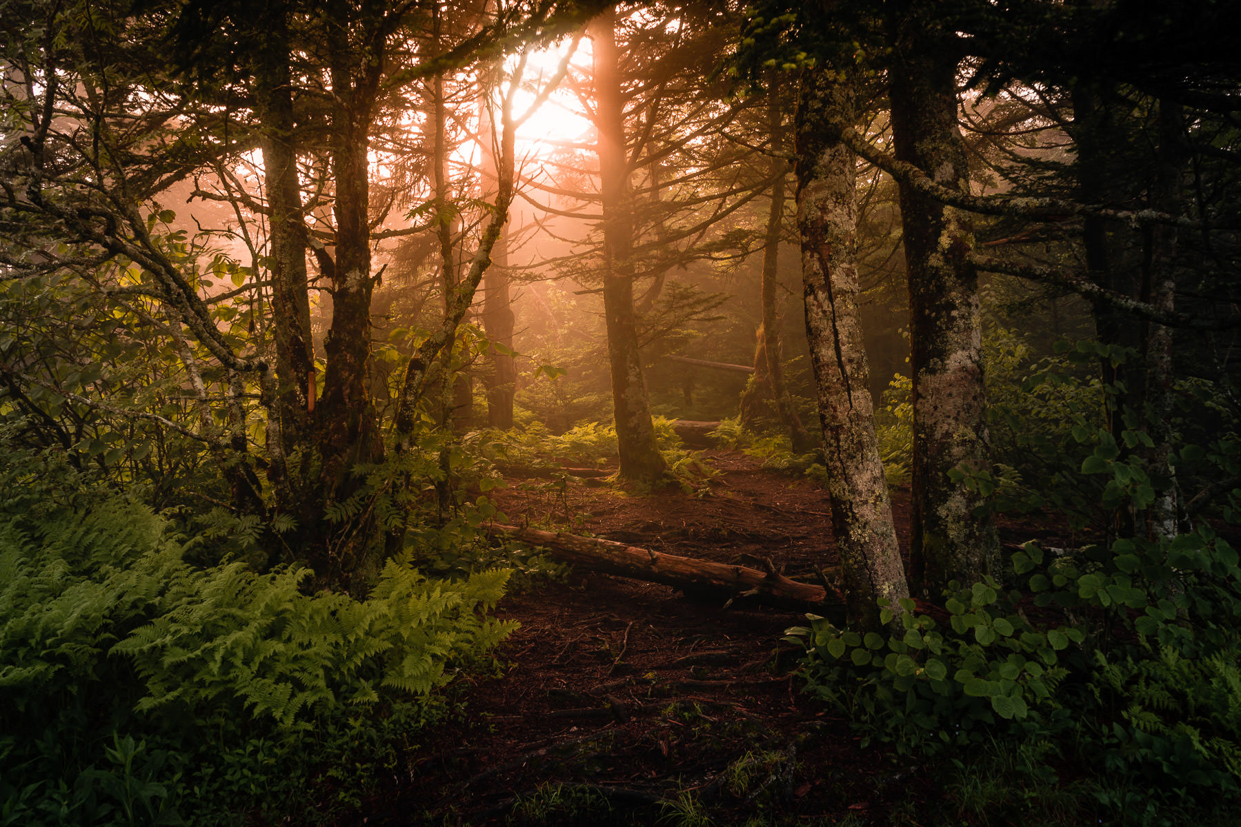 The morning sun shines through the trees near the peak of Clingmans Dome in the Great Smoky Mountains National Park, Tennessee.