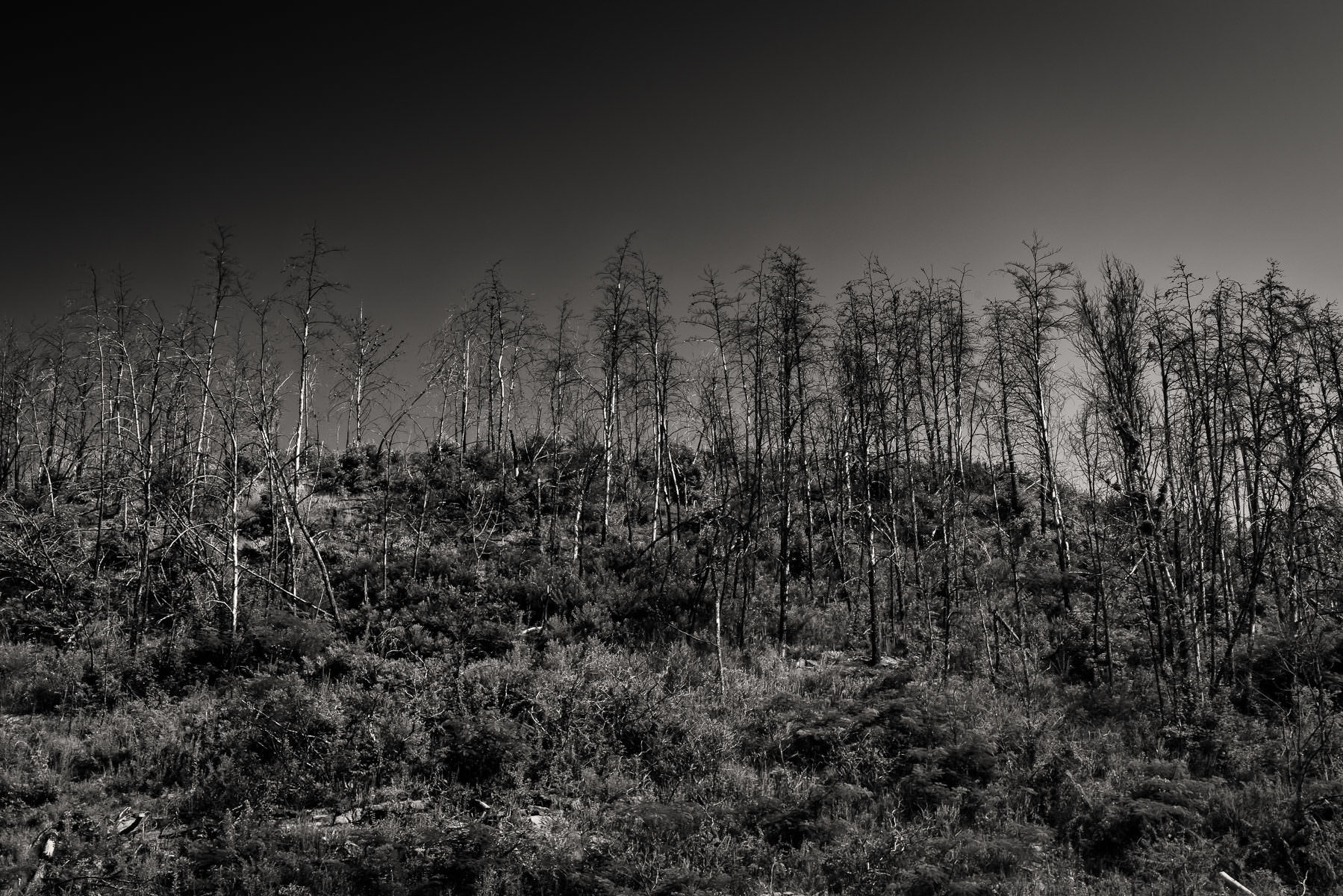 Barren trees grow on a hilltop in the Great Smoky Mountains National Park, Tennessee.