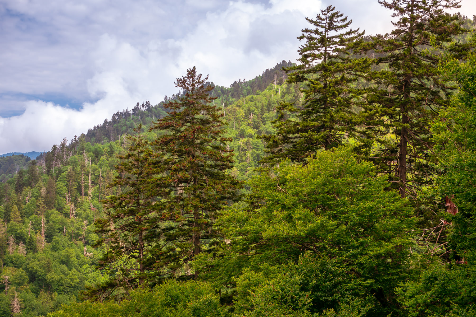 Trees grown on a mountainside in Tennessee's Great Smoky Mountains National Park.