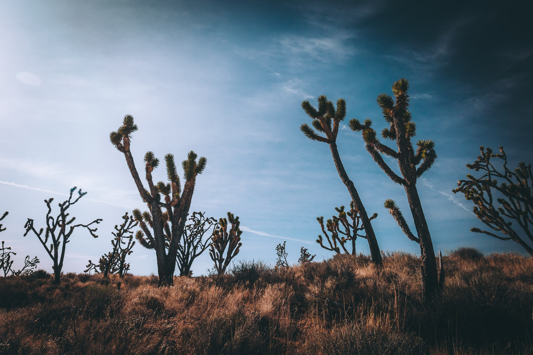 Joshua trees grow in the arid landscape of California's Mojave National Preserve.