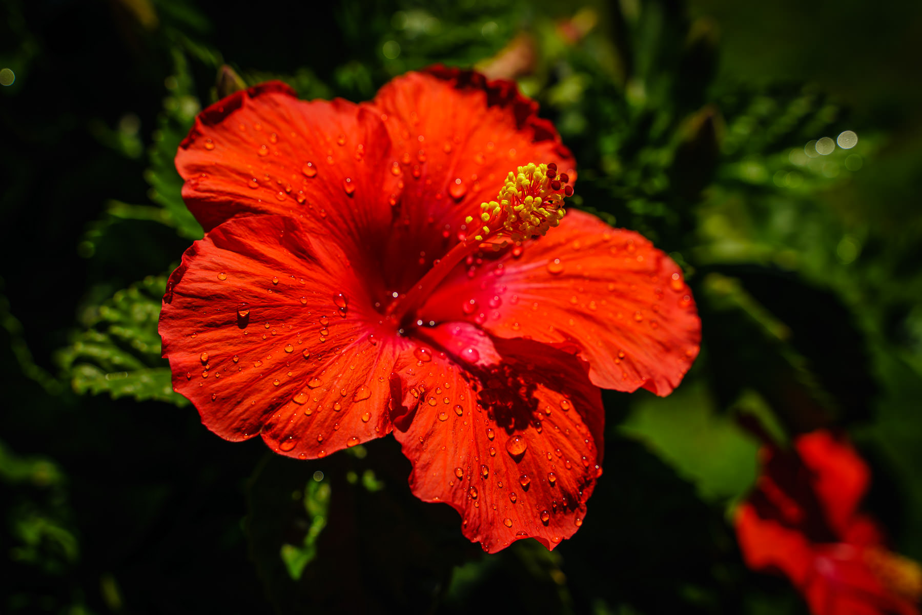 A red hibiscus grows in a McKinney, Texas, garden.