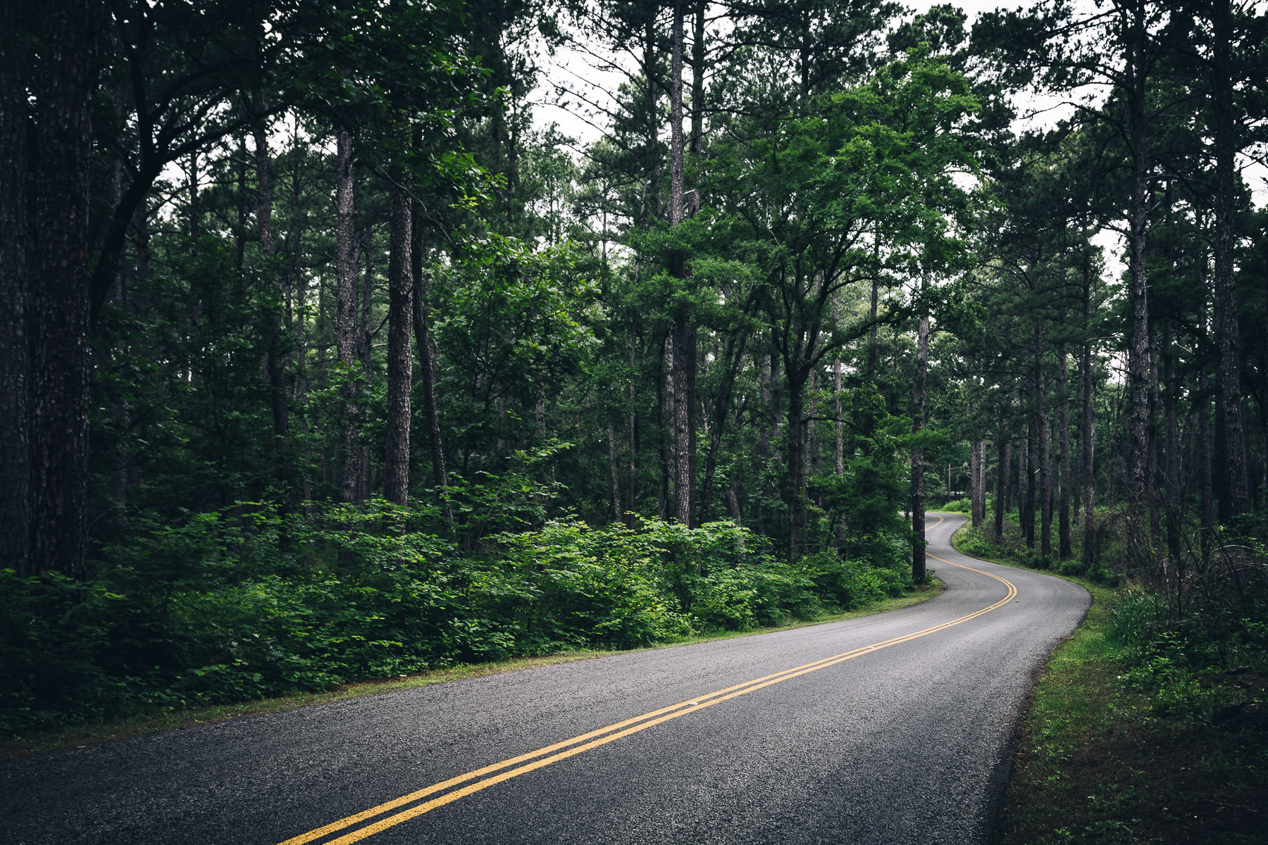 A road curves through the pine tree forest at Tyler State Park, Texas.