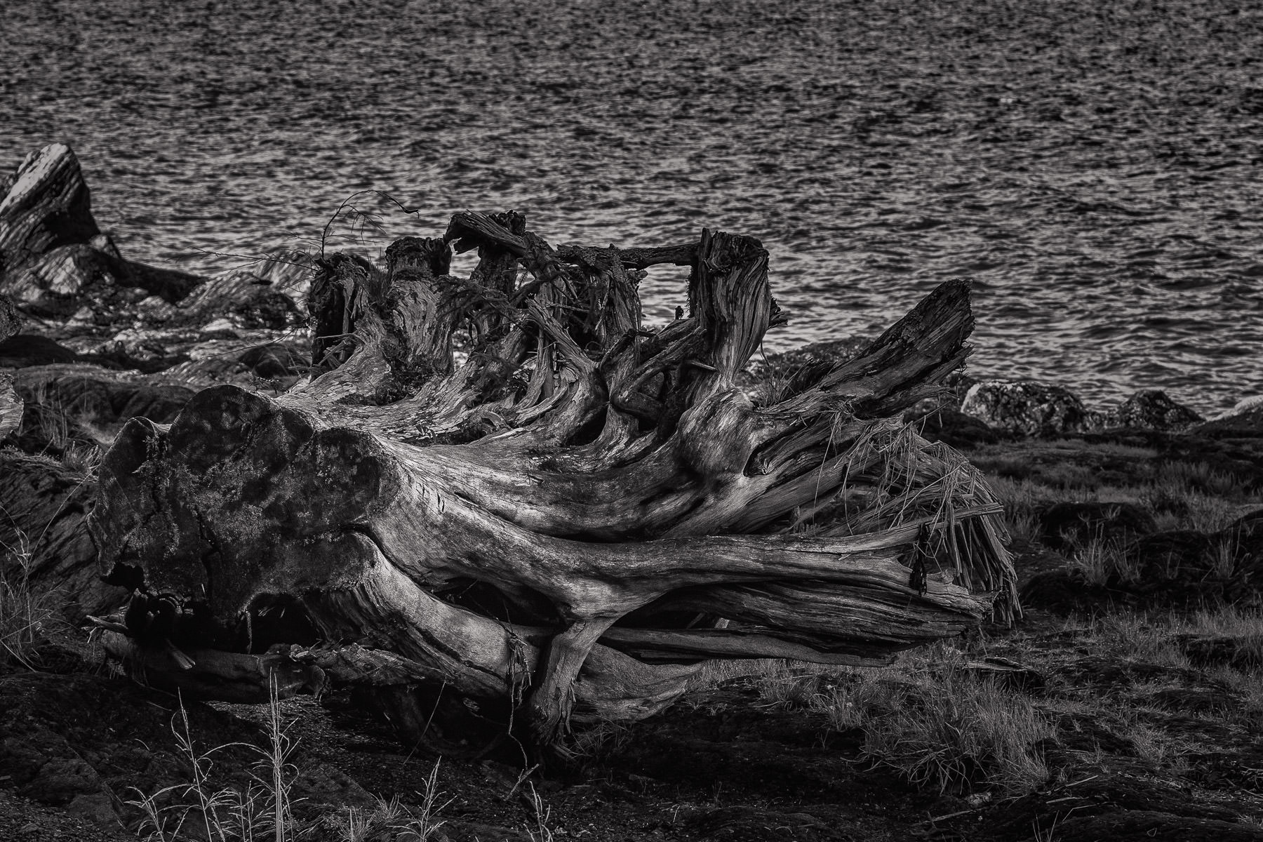 An uprooted tree stump lies on the shore of the Tongass Narrows near Ketchikan, Alaska.