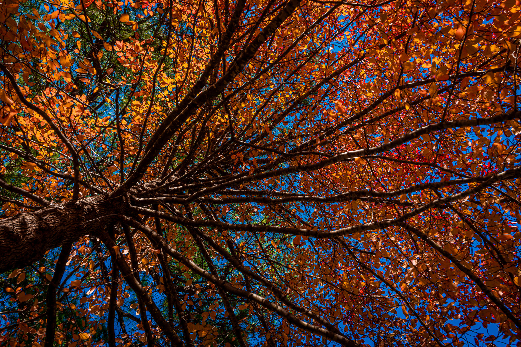 Autumn leaves on a tree spotted in Tyler, Texas.