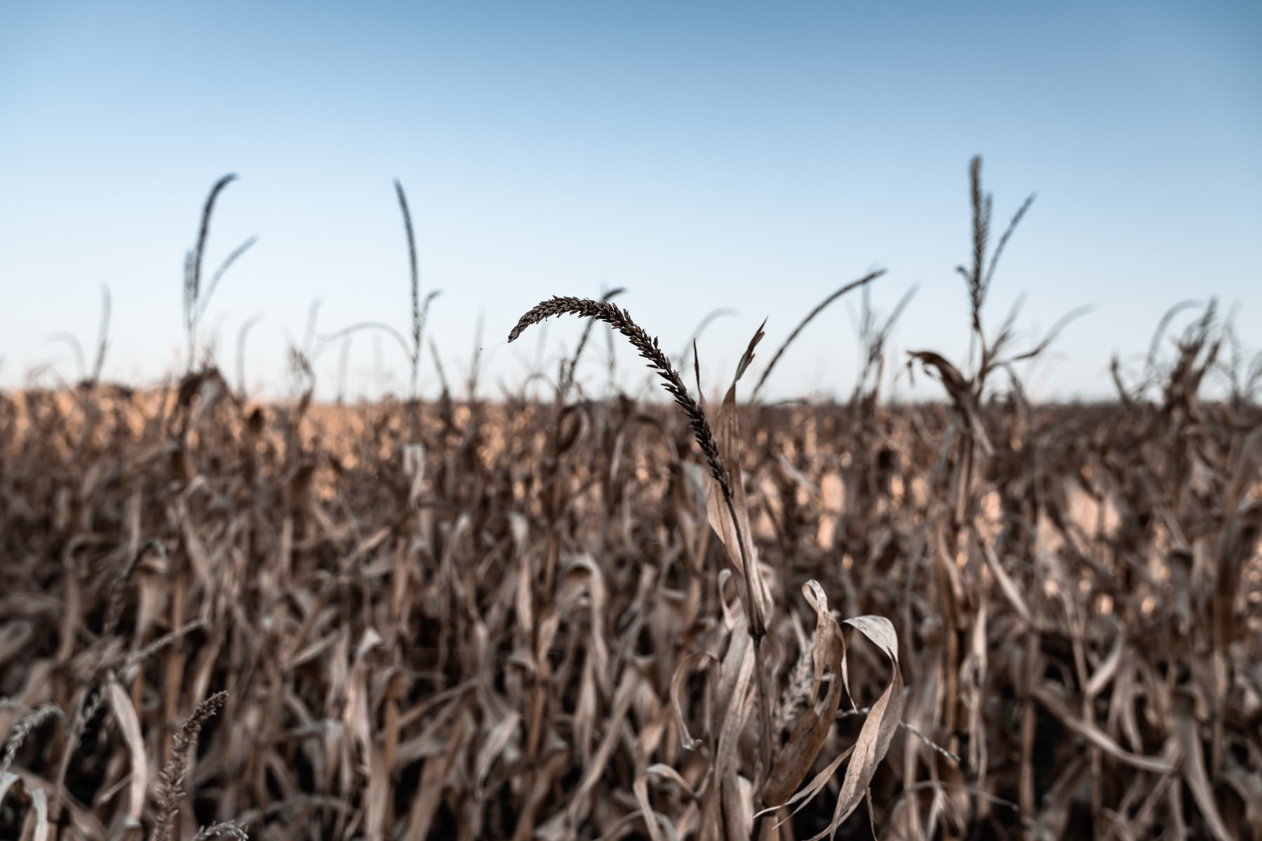 Desiccated corn plants dry in a field near McKinney, Texas.