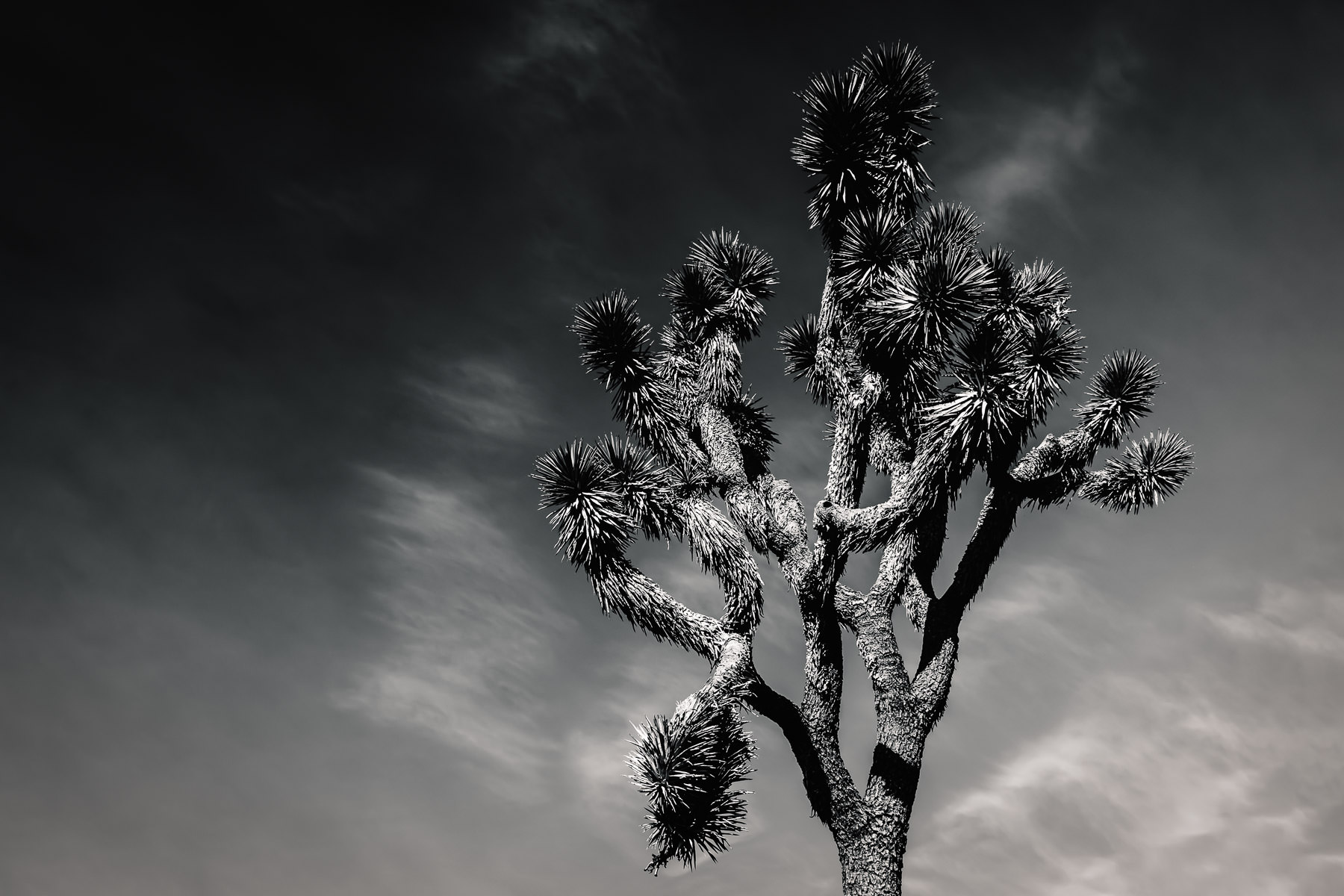 A Joshua Tree grows into the sky at Mojave National Preserve, California.