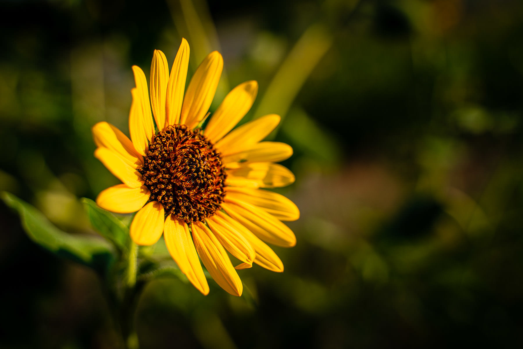A sunflower spotting in a field near McKinney, Texas.