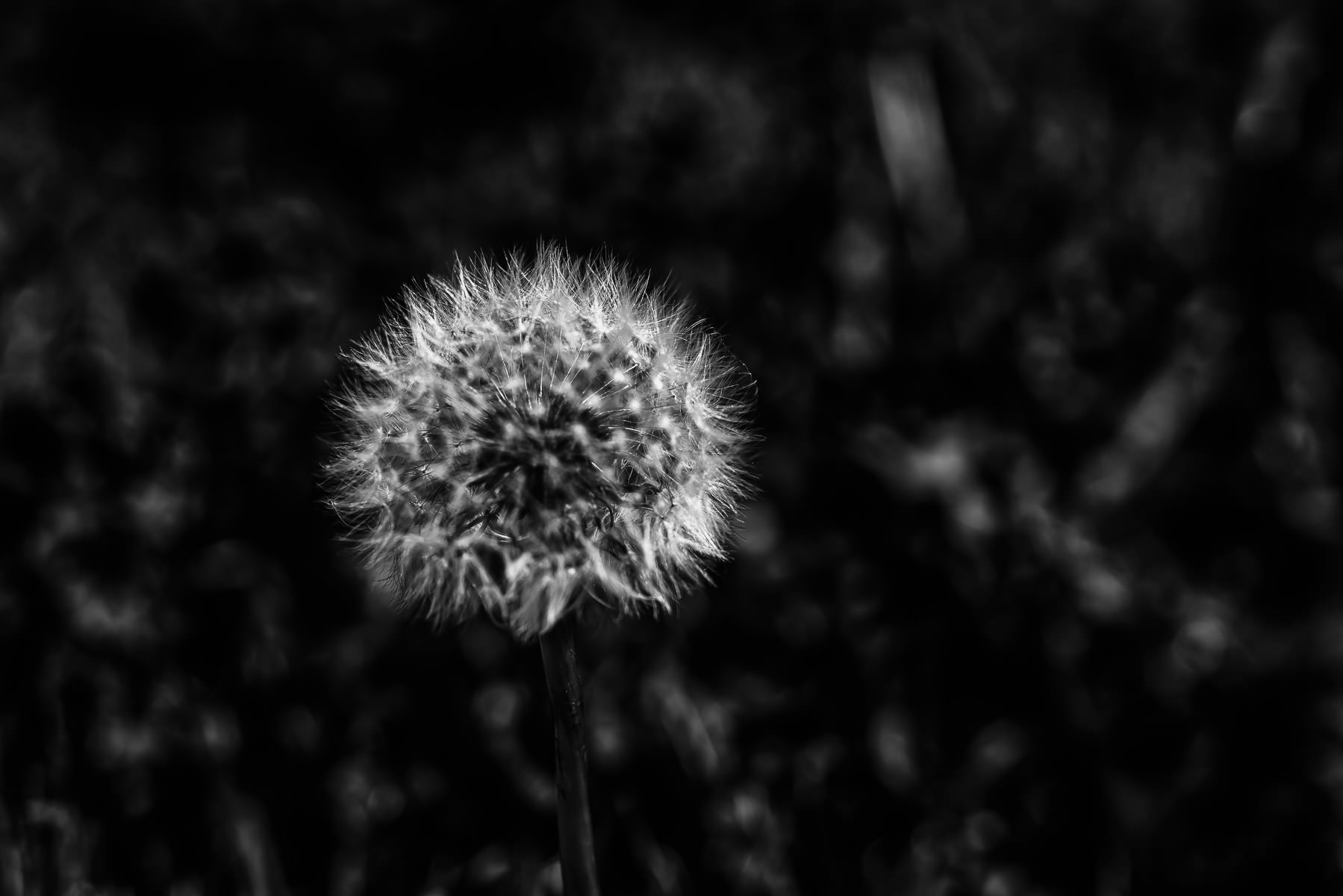 Detail of a dandelion spotted in a McKinney, Texas, lawn.
