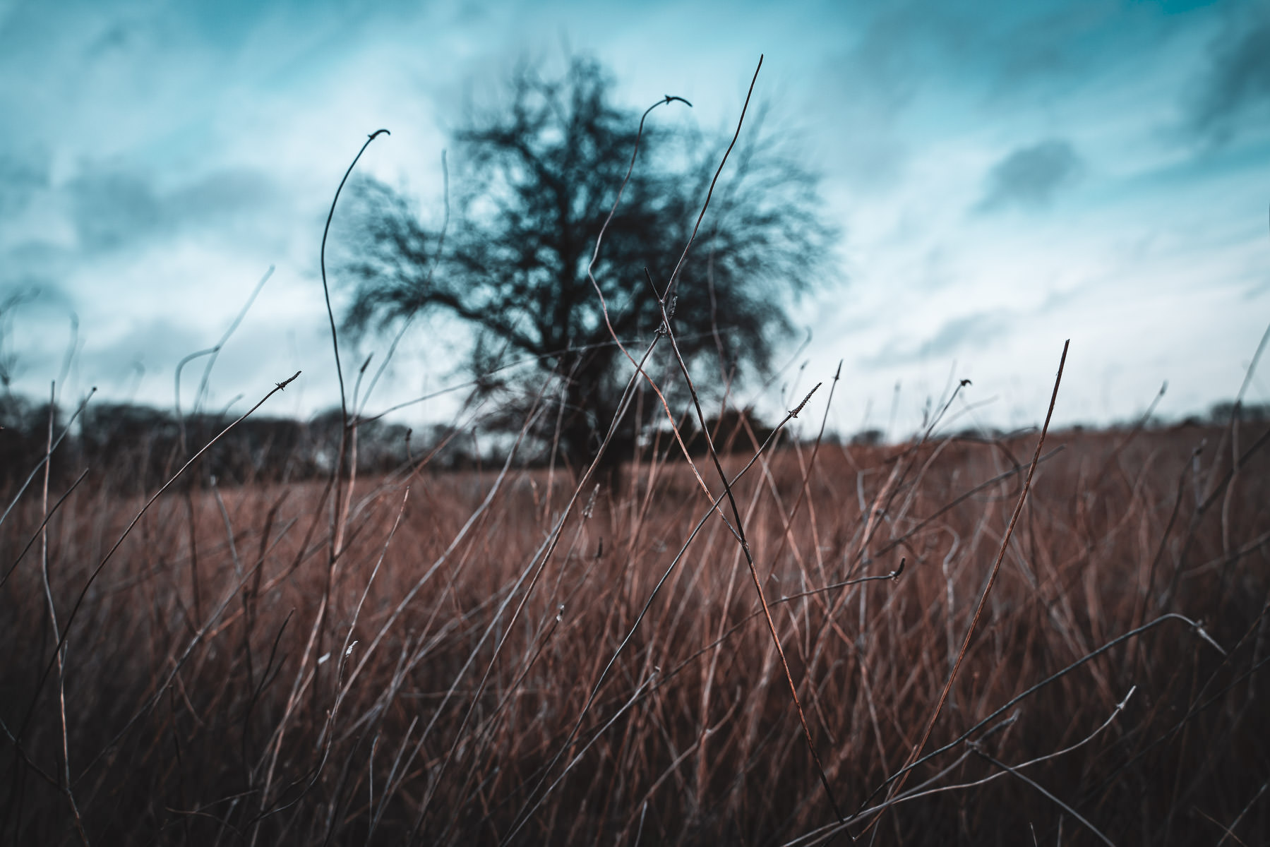Tall grass withers in the cold at McKinney, Texas' Erwin Park.