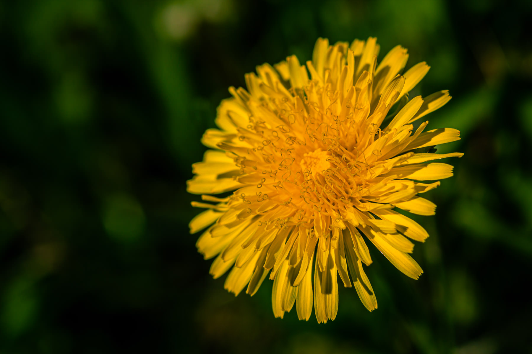 A dandelion flower spotted in a McKinney, Texas, lawn.