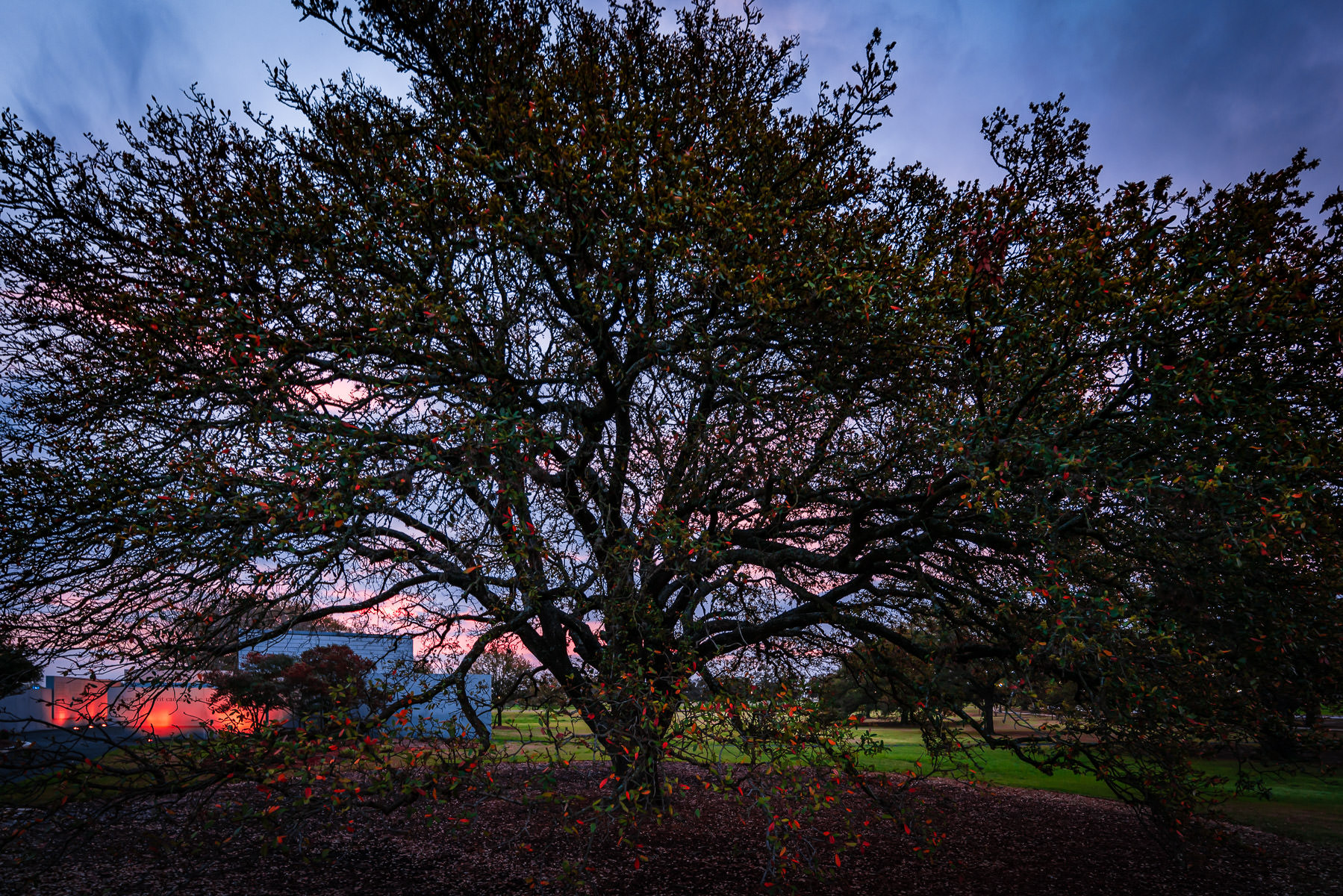 The first light of day falls on a tree at Texas A&M University.