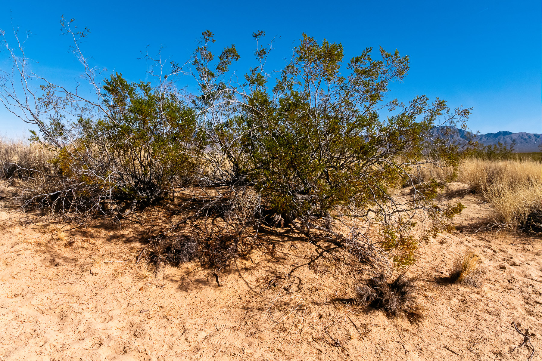 Desert brush spotted at California's Mojave National Preserve.