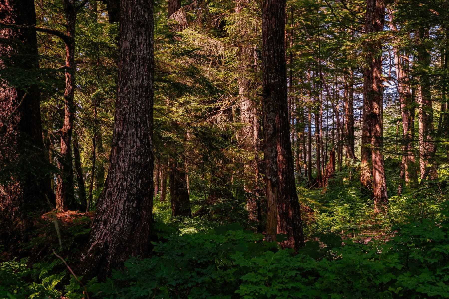 Old trees grow in a forest near Juneau, Alaska.