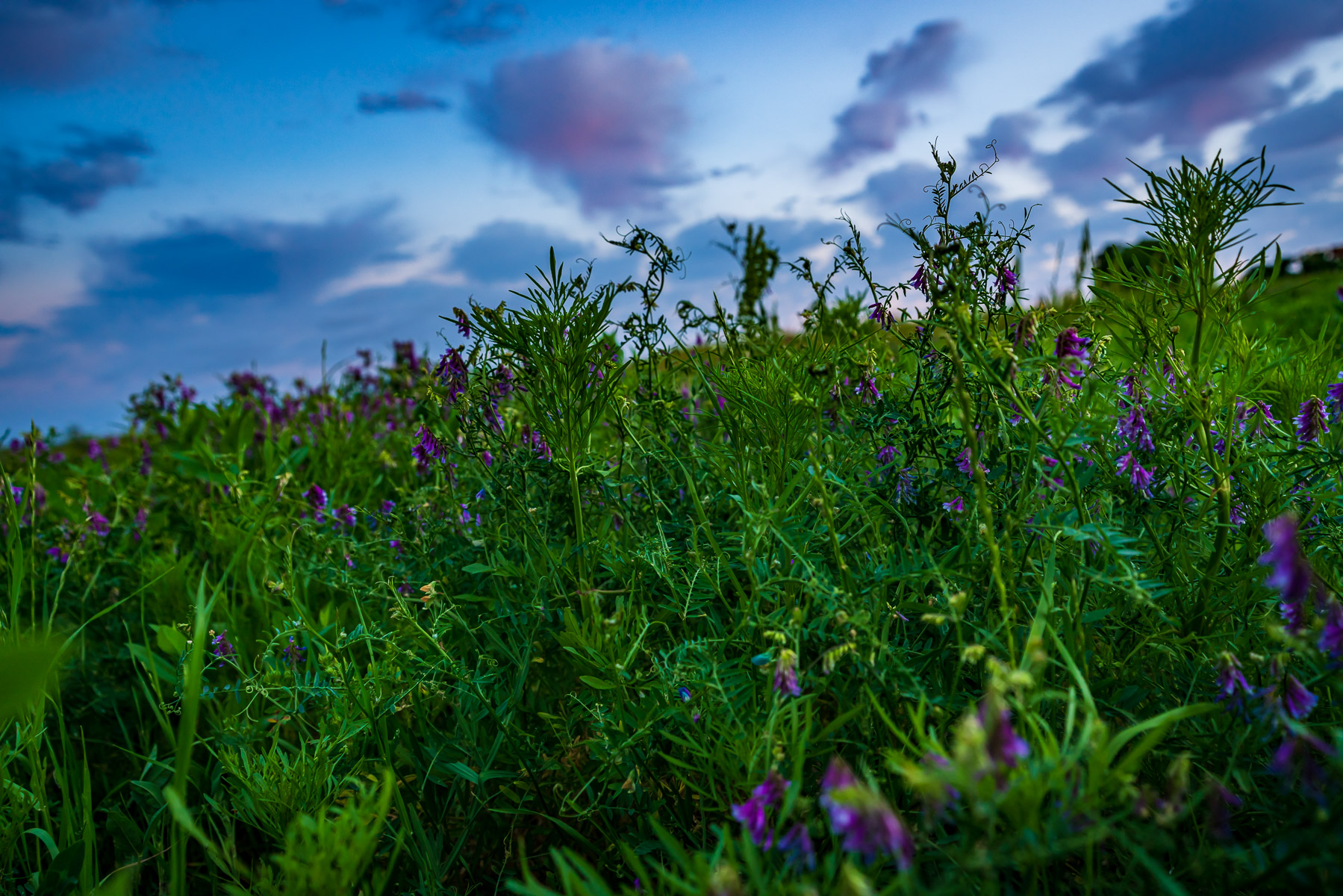 Flowers in a field at North Texas' Hagerman National Wildlife Refuge.