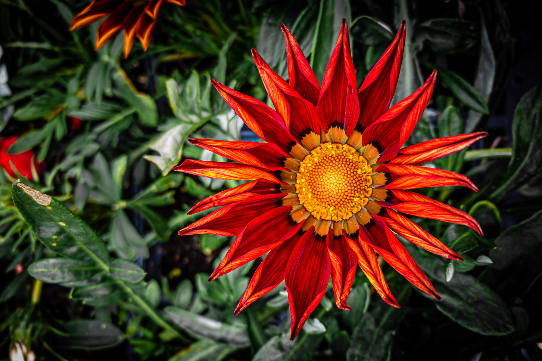 A gazania flower spotted at a North Texas plant farm.