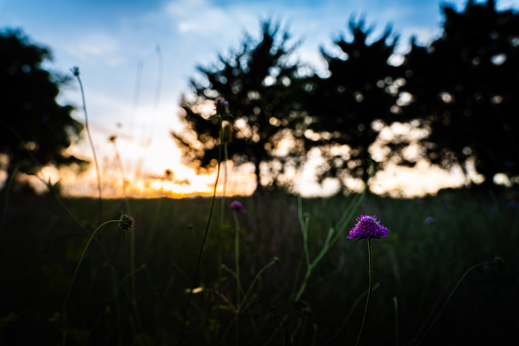 Wildflowers at sunset in McKinney, Texas' Erwin Park.