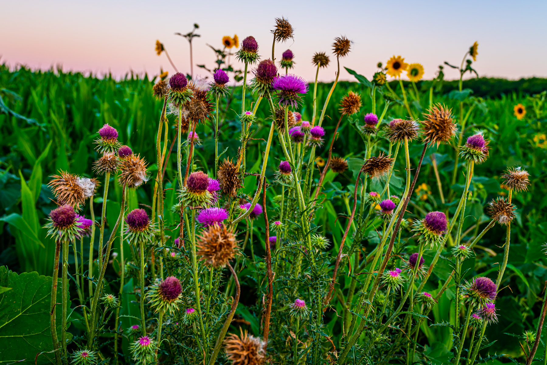 Nodding thistles grow in a farm field near McKinney, Texas.