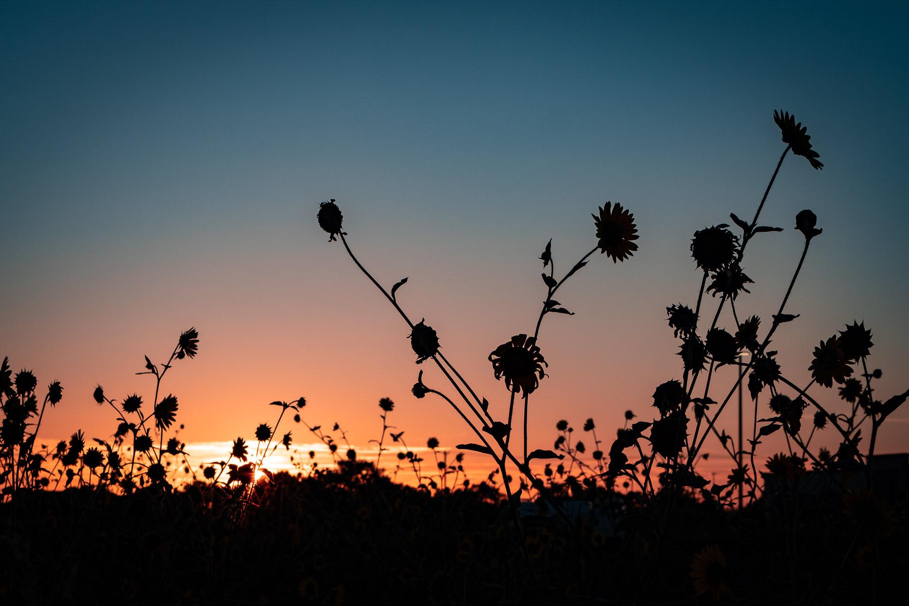 Sunflowers at sunset in McKinney, Texas.