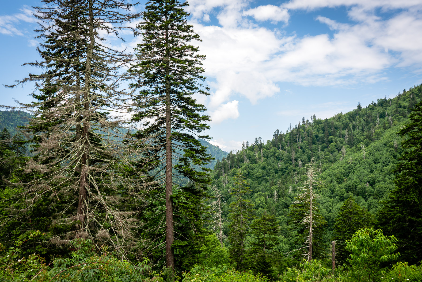 The piney forests of Tennessee's Great Smoky Mountains National Park.