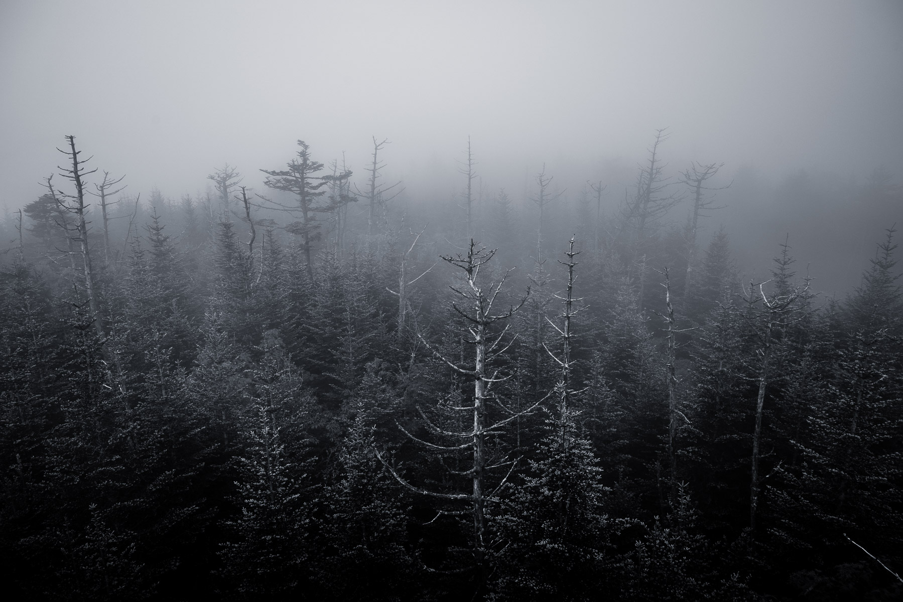 Trees in the fog atop Clingmans Dome in the Great Smoky Mountains National Park, Tennessee.