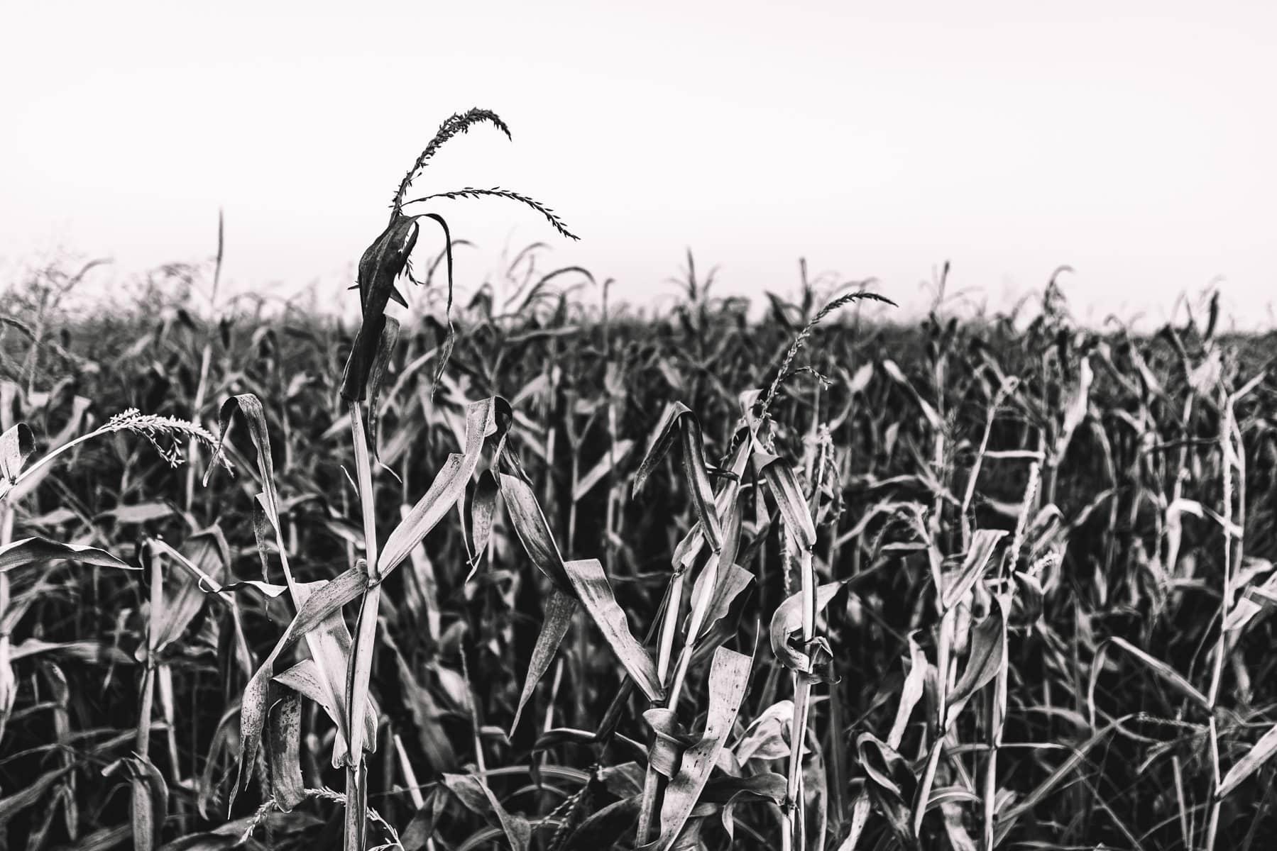 Desiccated cornstalks in a farm field near McKinney, Texas.