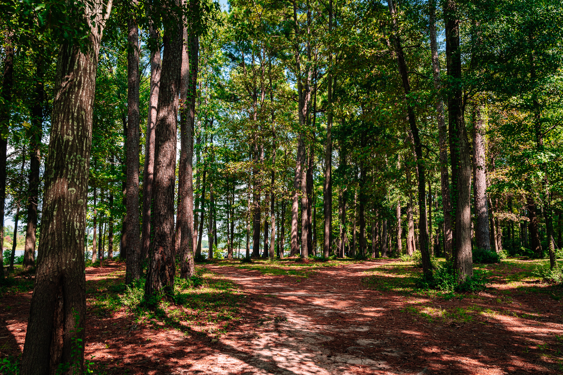 The pine forest of East Texas' Martin Creek Lake State Park.