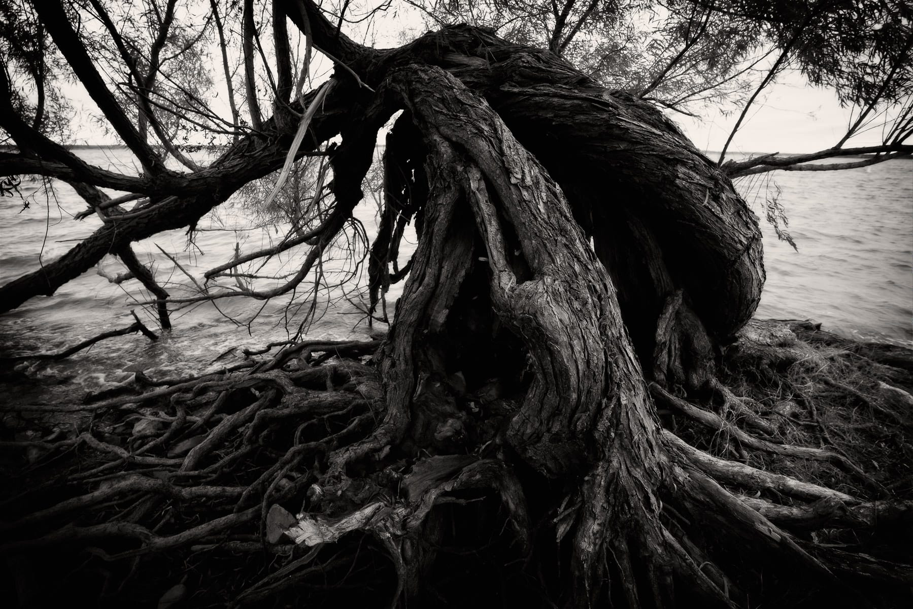 A gnarled tree along the shore of Lake Whitney at Lake Whitney State Park, Texas.