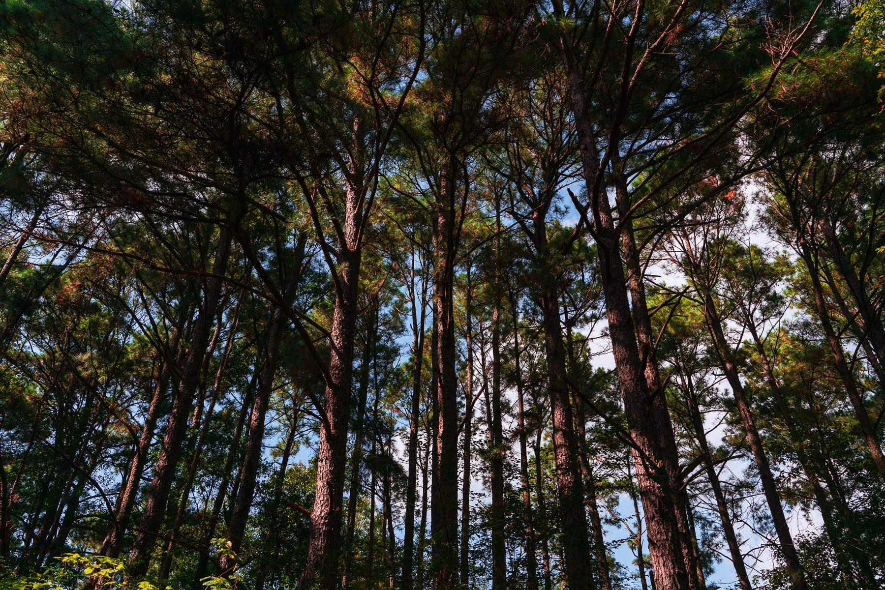 Tall pine trees at East Texas' Martin Creek Lake State Park.